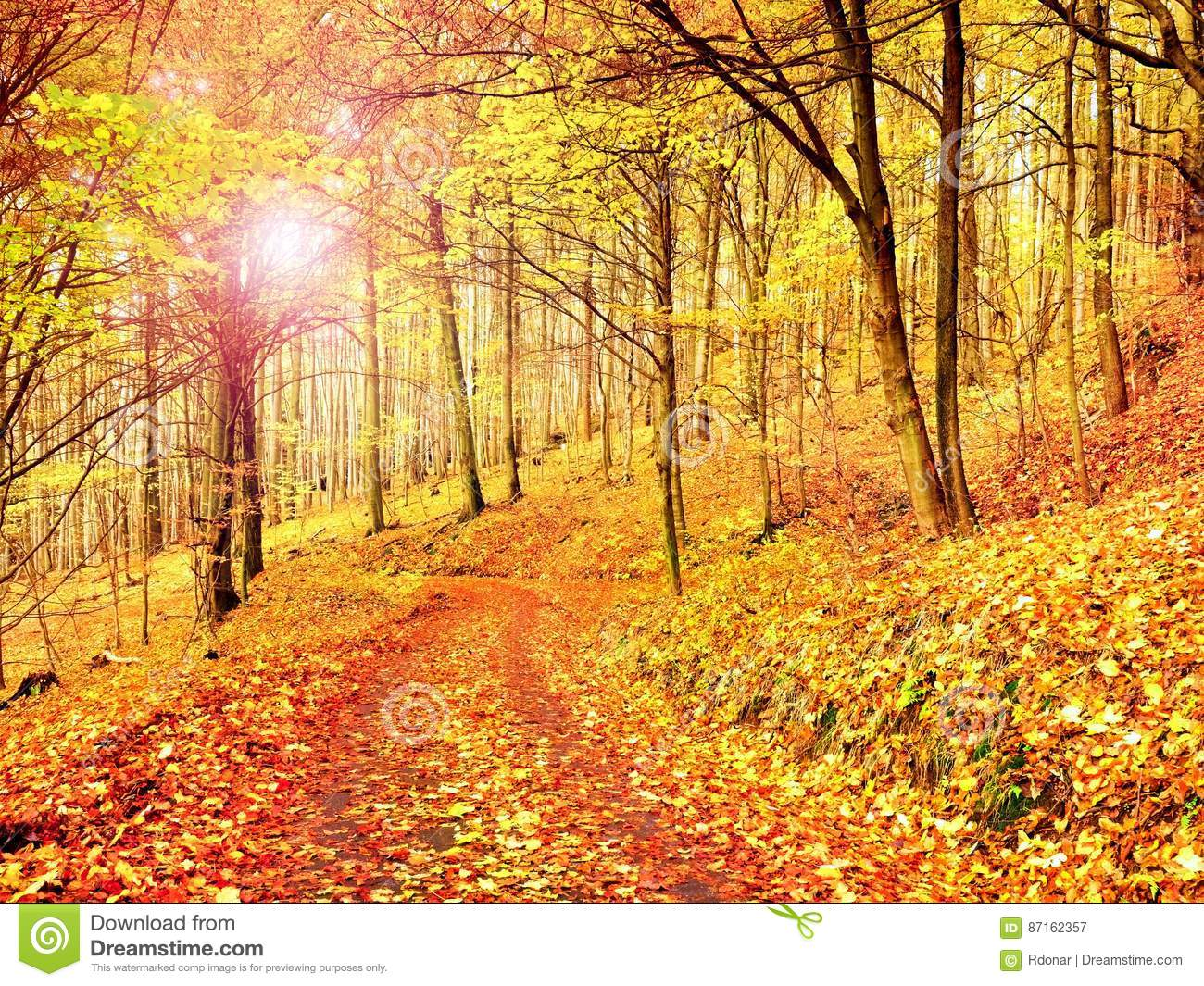Fall Season Sun Through Trees On Path In Golden Forest