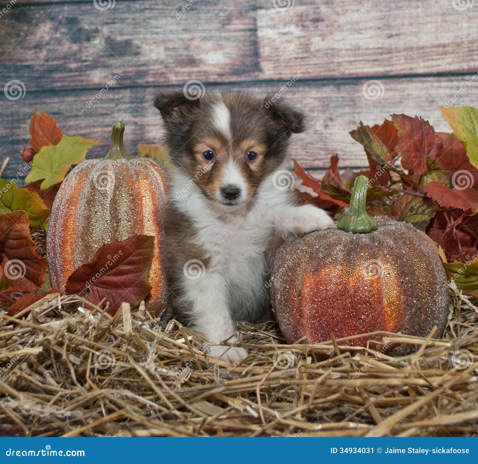 Fall Sheltie Puppy Stock Image Image 34934031