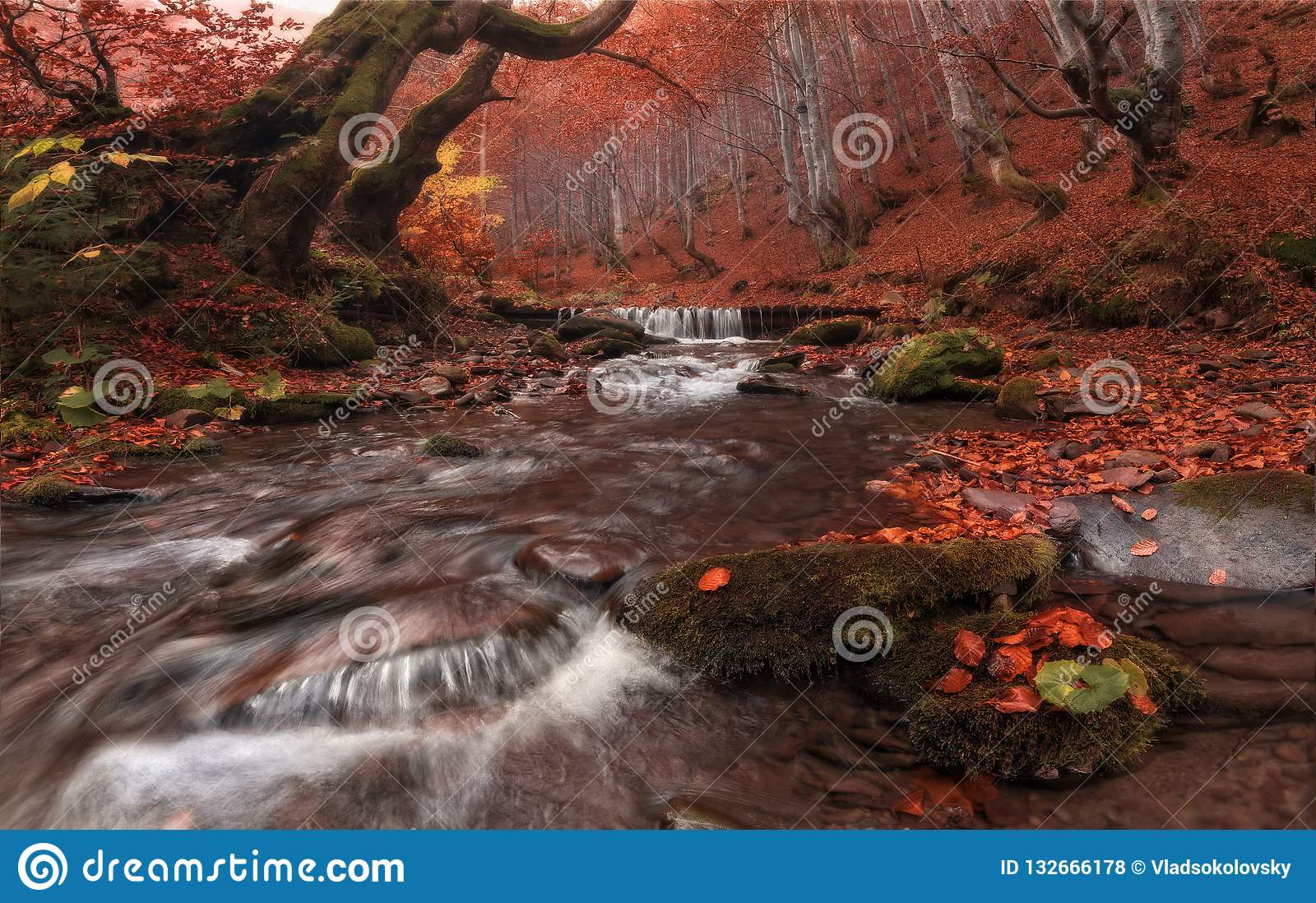 Fall Stream: Great Autumn Beech Forest Landscape In Red Color With Beautiful Mountain Creek And Misty Grey Forest. Enchanted Autum