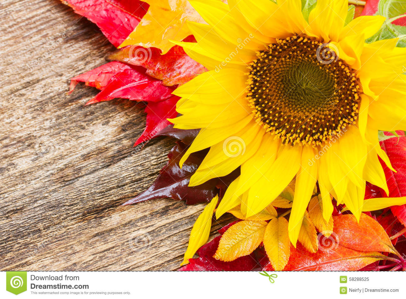 Fall Sunflowers Stock Image Of Colorful Plant