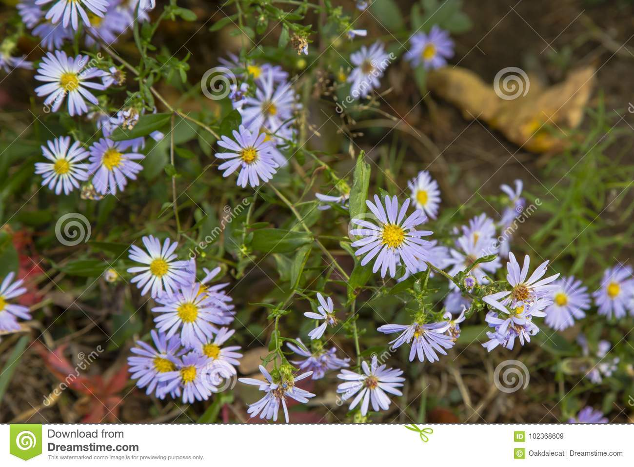 Fall Wildflowers Smooth Blue Aster Stock Image Image Of Floret