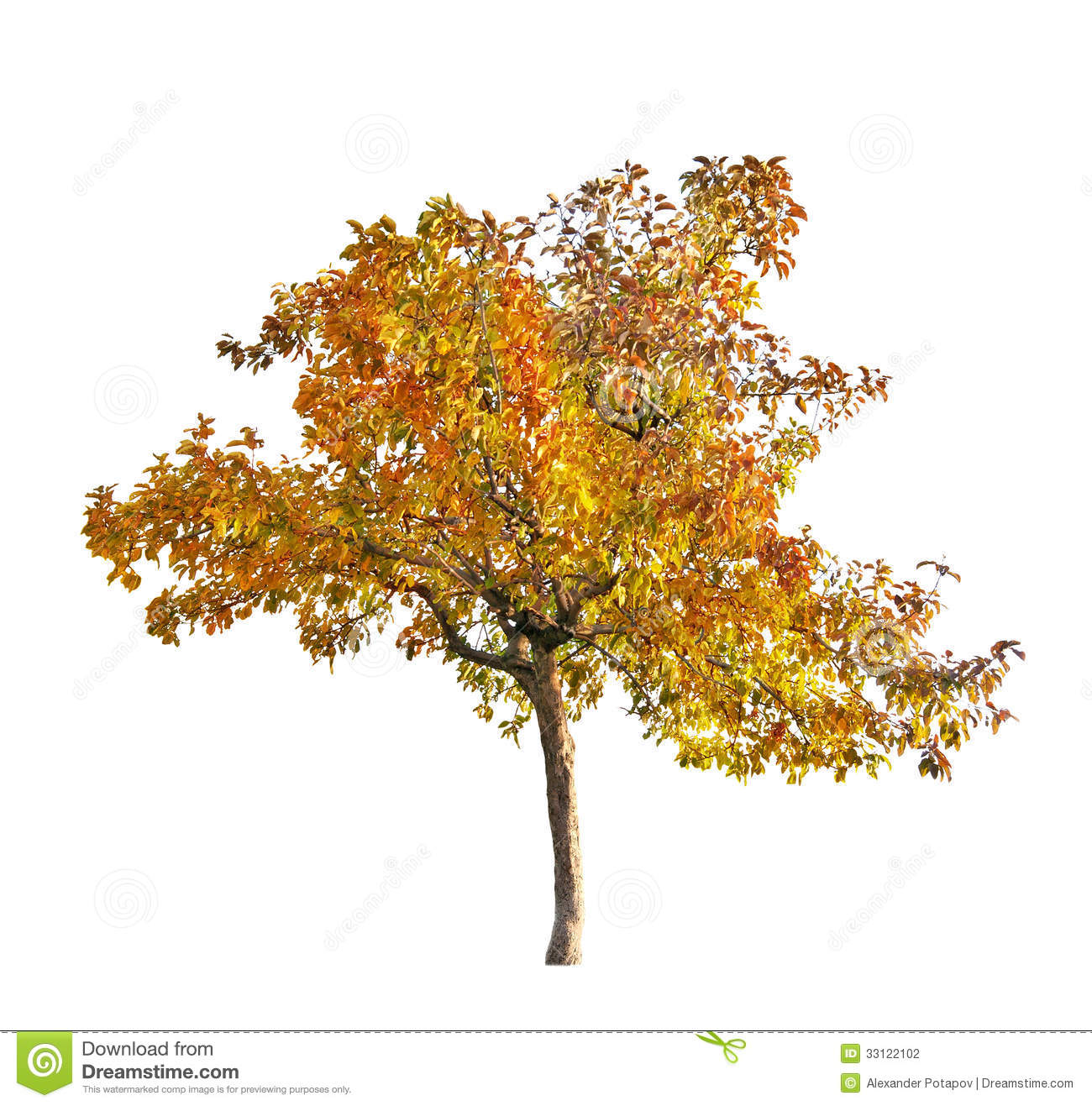 Fall Yellow Apple Tree Isolated On White Stock Photo