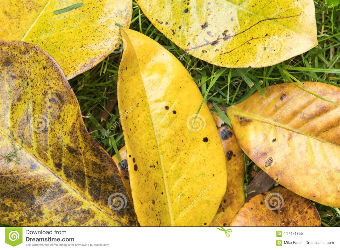Fallen Leaves From A Magnolia Tree Stock Image Image Of Bright