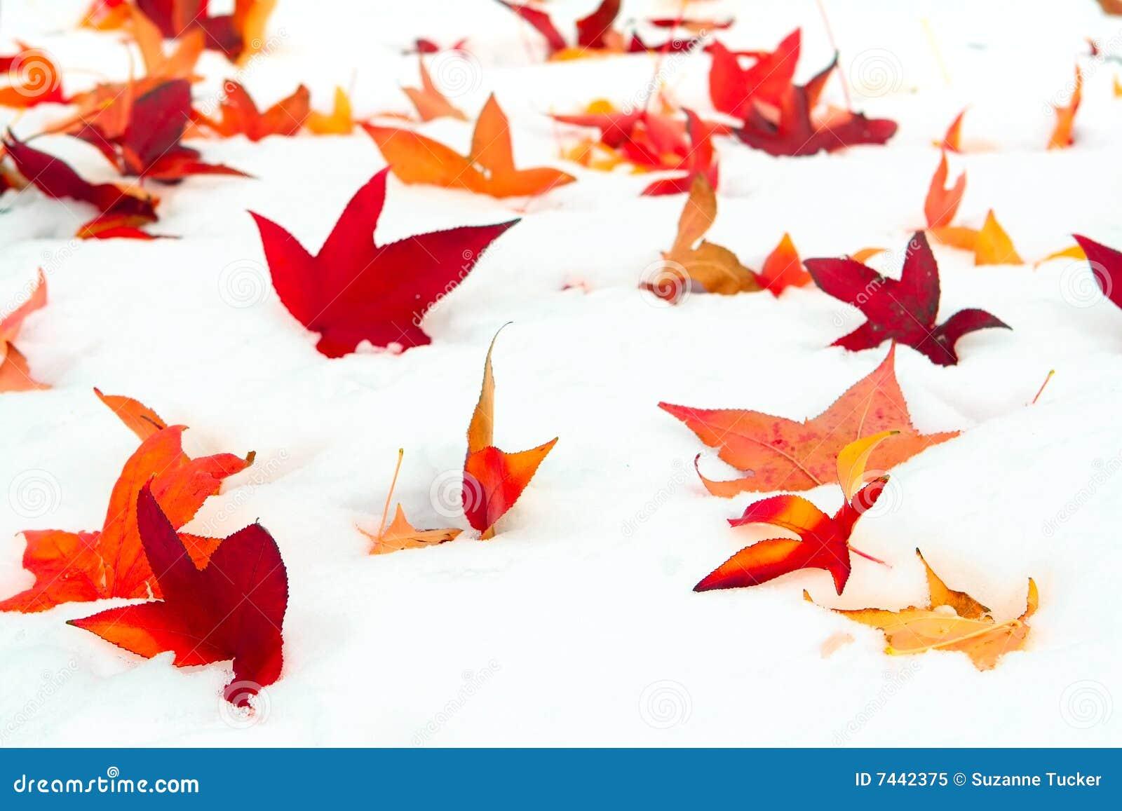 Fallen leavessnowsweetgum