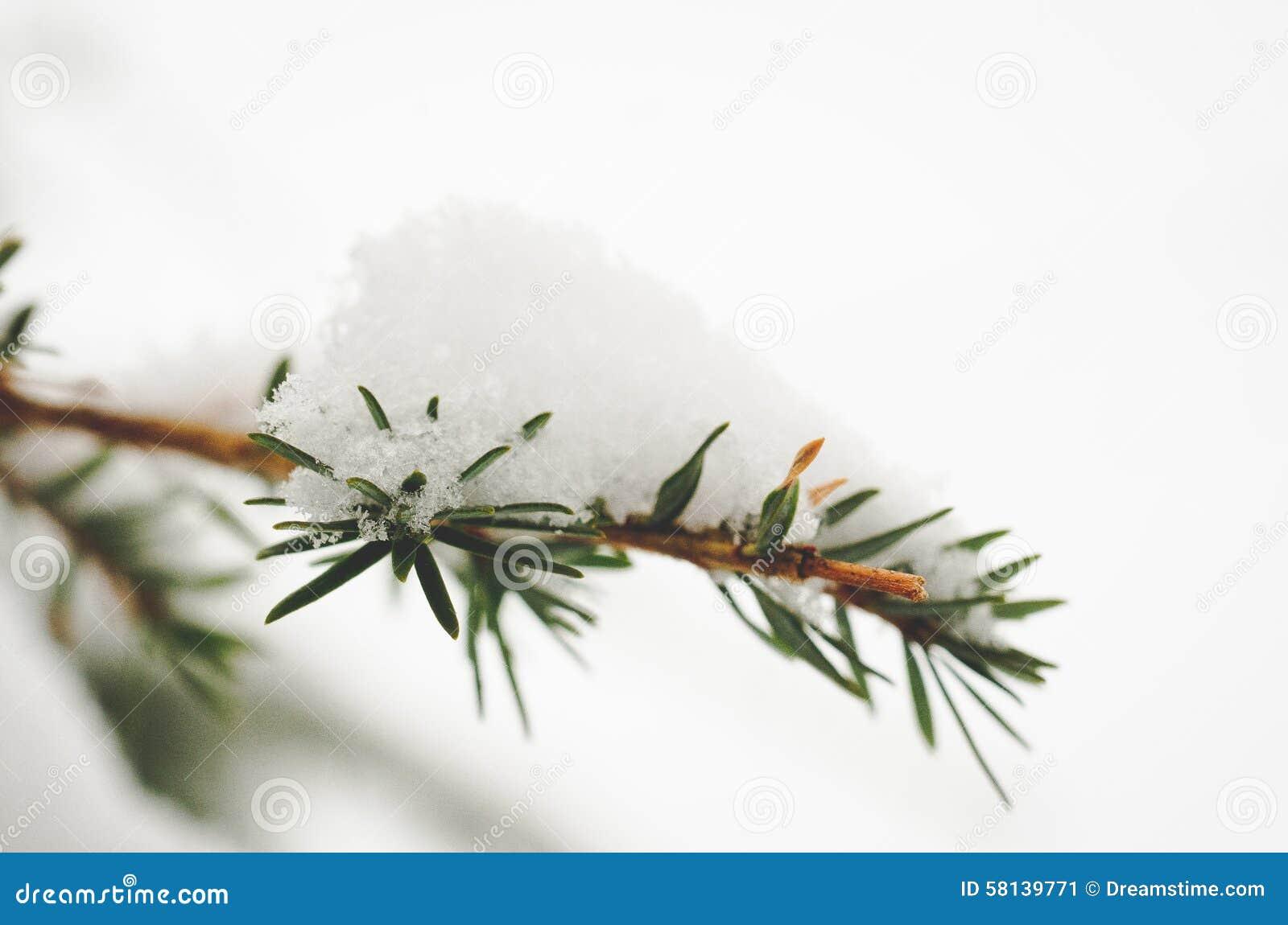 Pine Branches With Snow Stock Image Cartoondealer Com