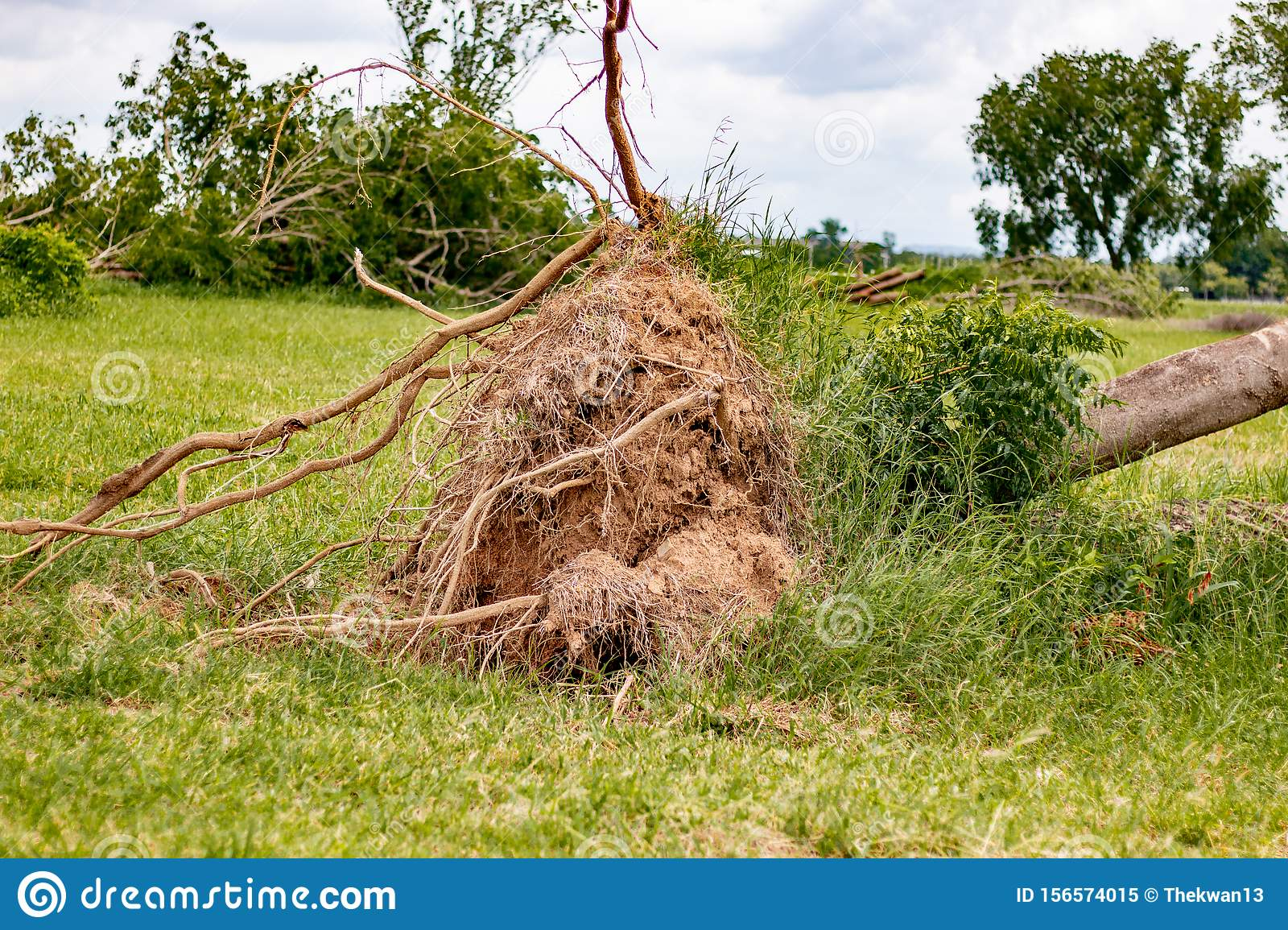 fallen tree after storm , uprooted tree