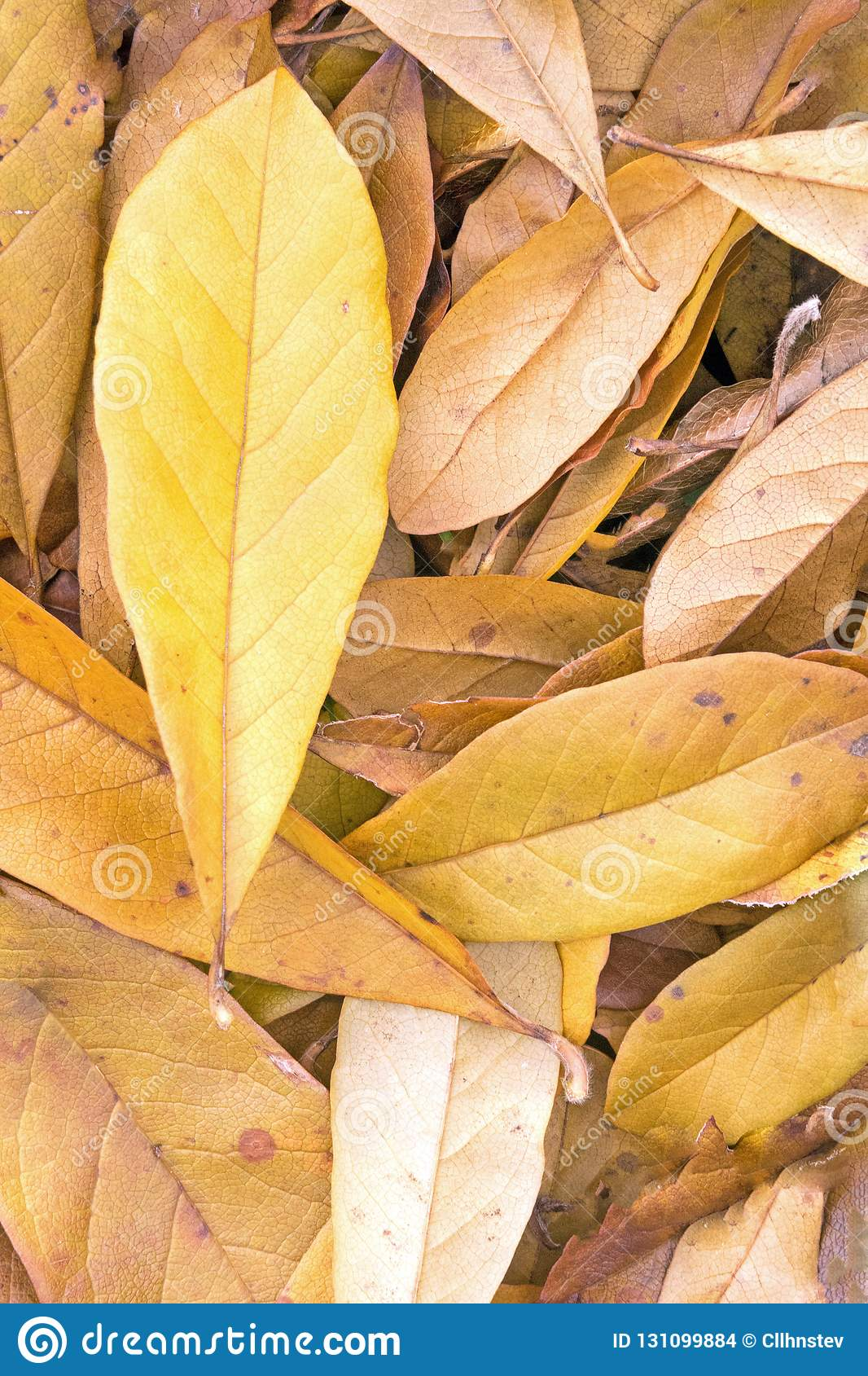 Fallen Yellow Star Magnolia Leaves Stock Photo Image Of Seasonal