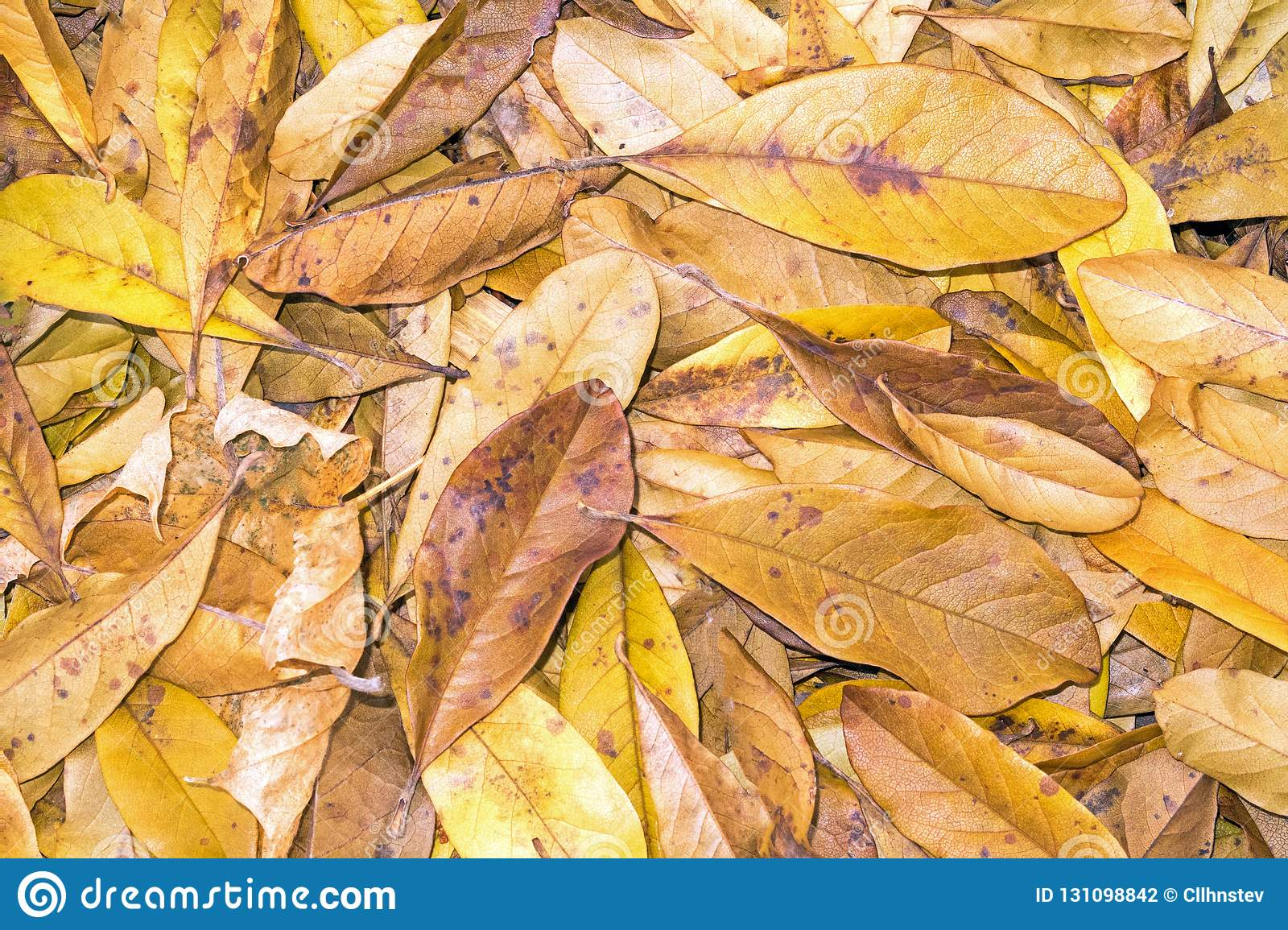 Fallen Yellow Star Magnolia Leaves Stock Photo Image Of Showing