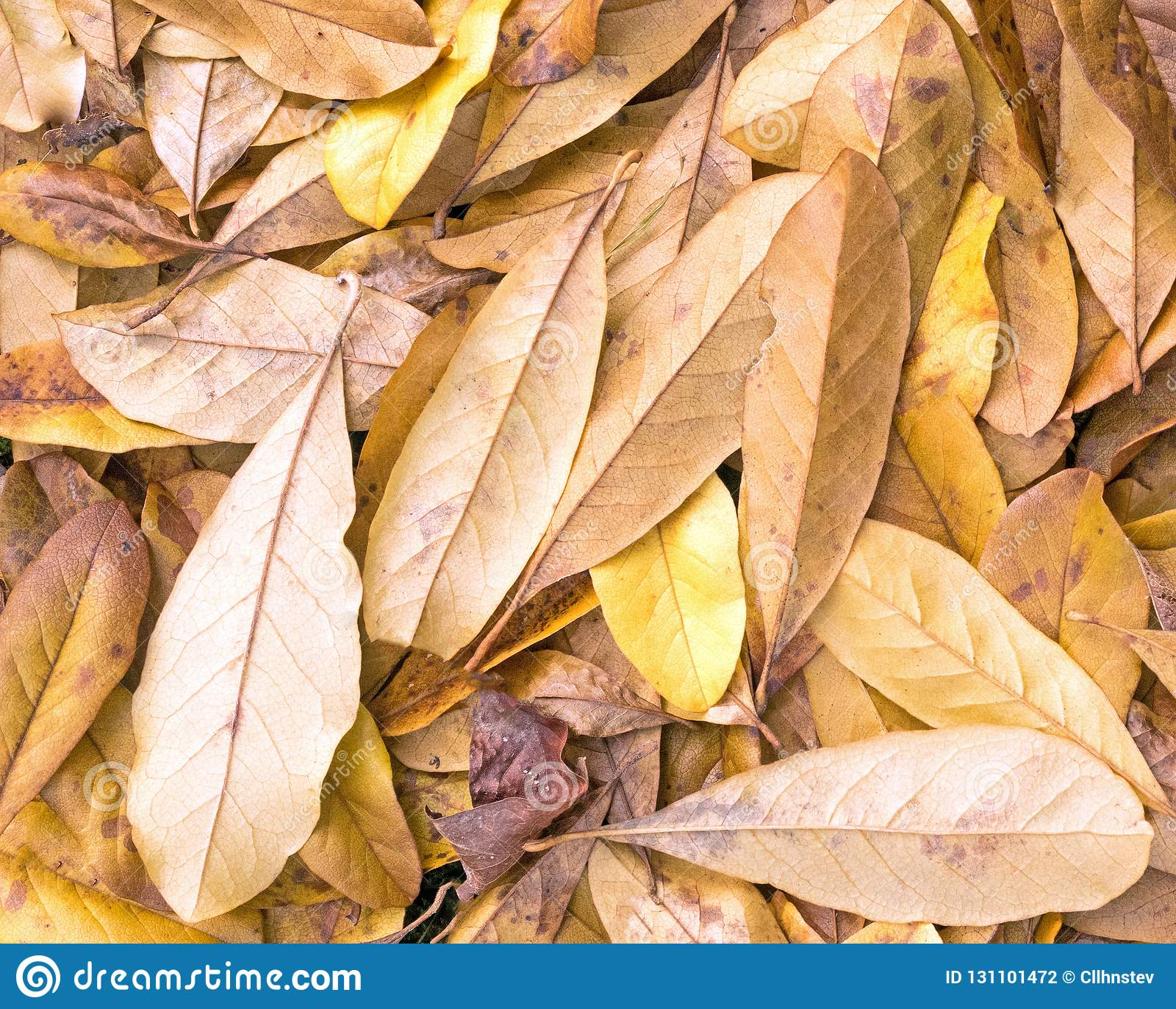 Fallen Yellow Star Magnolia Leaves Stock Photo Image Of Star