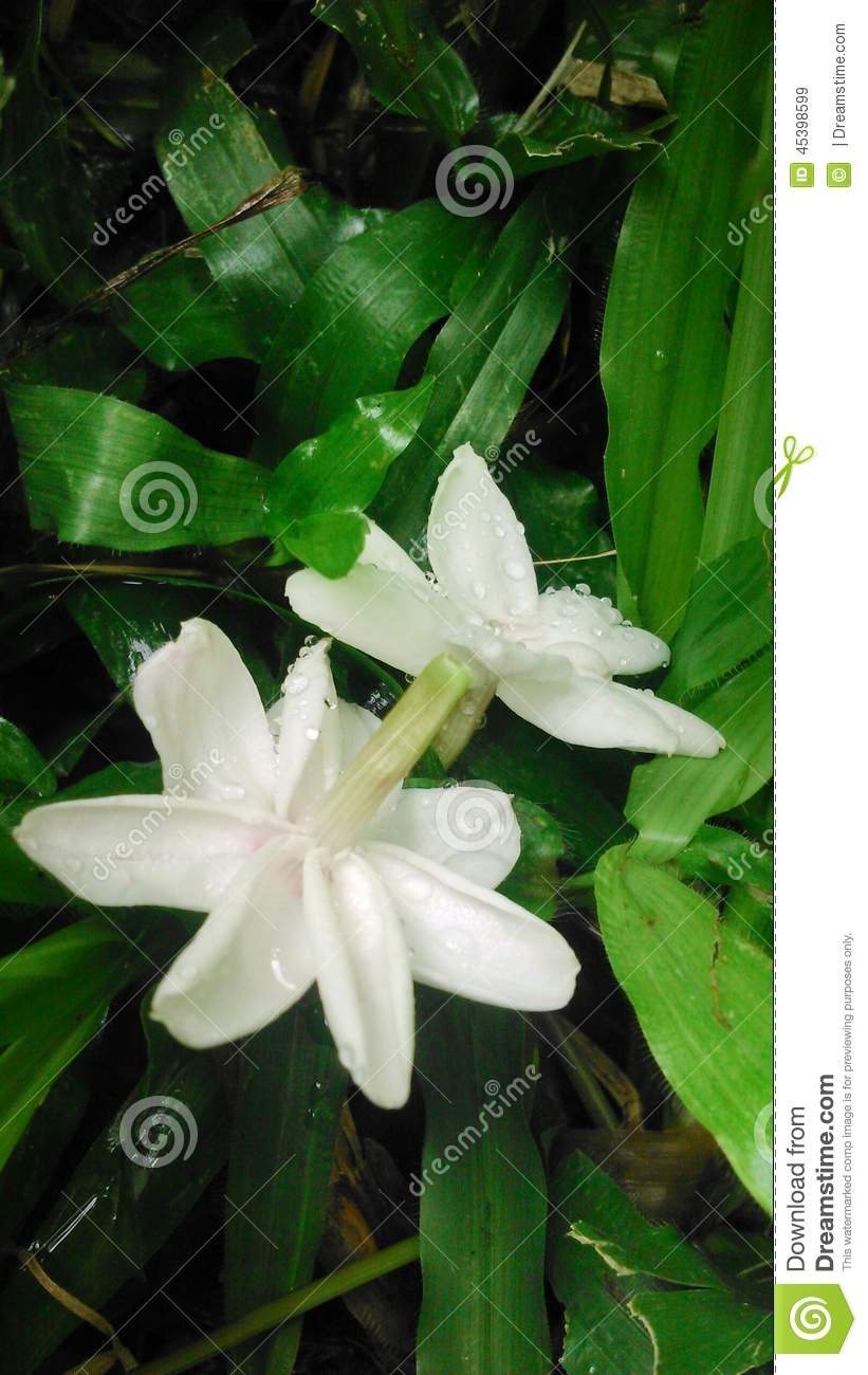 Falling White Jasmine After The Rain In The Flower Garde Stock Image