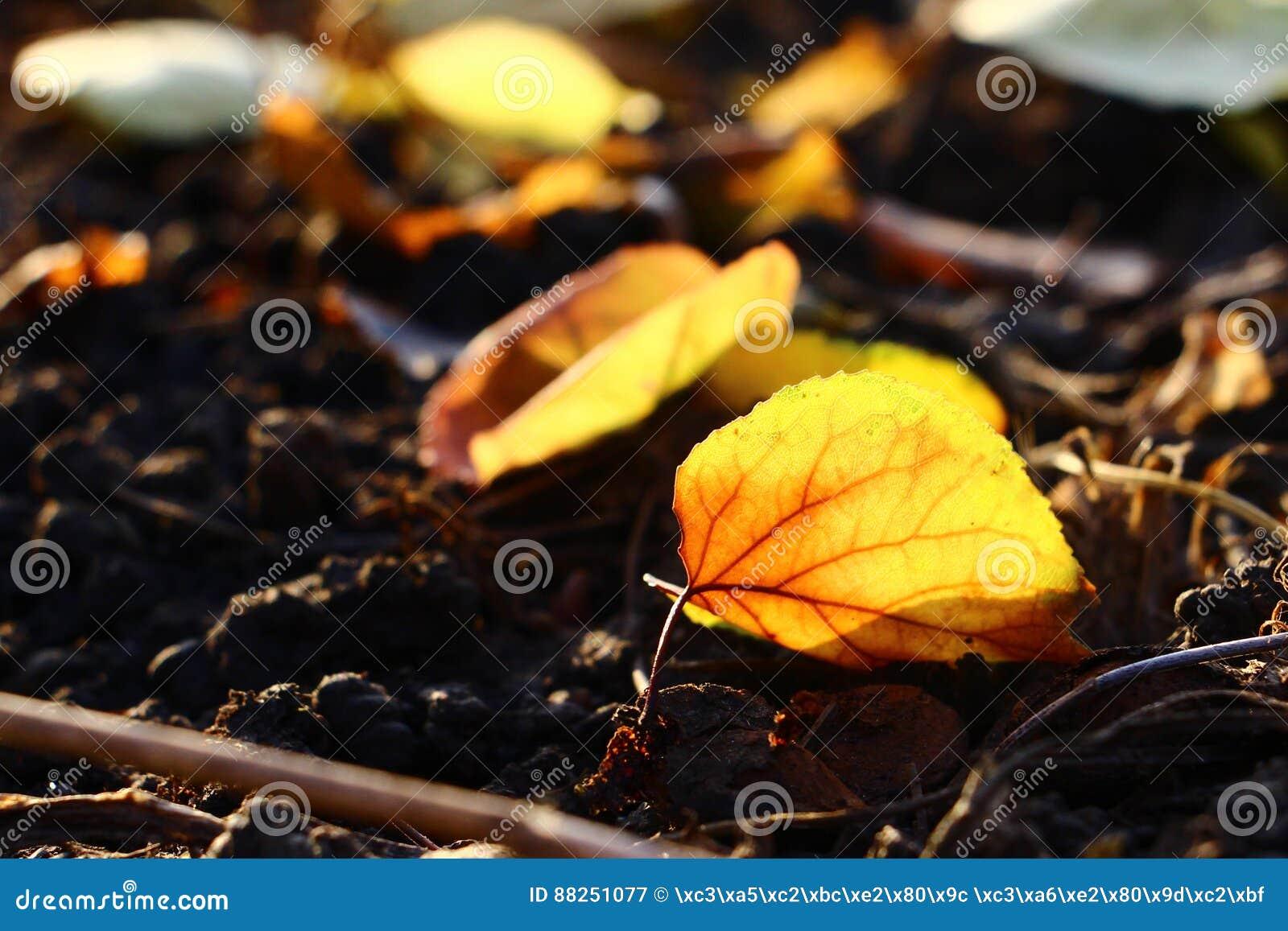 Fallna leaves