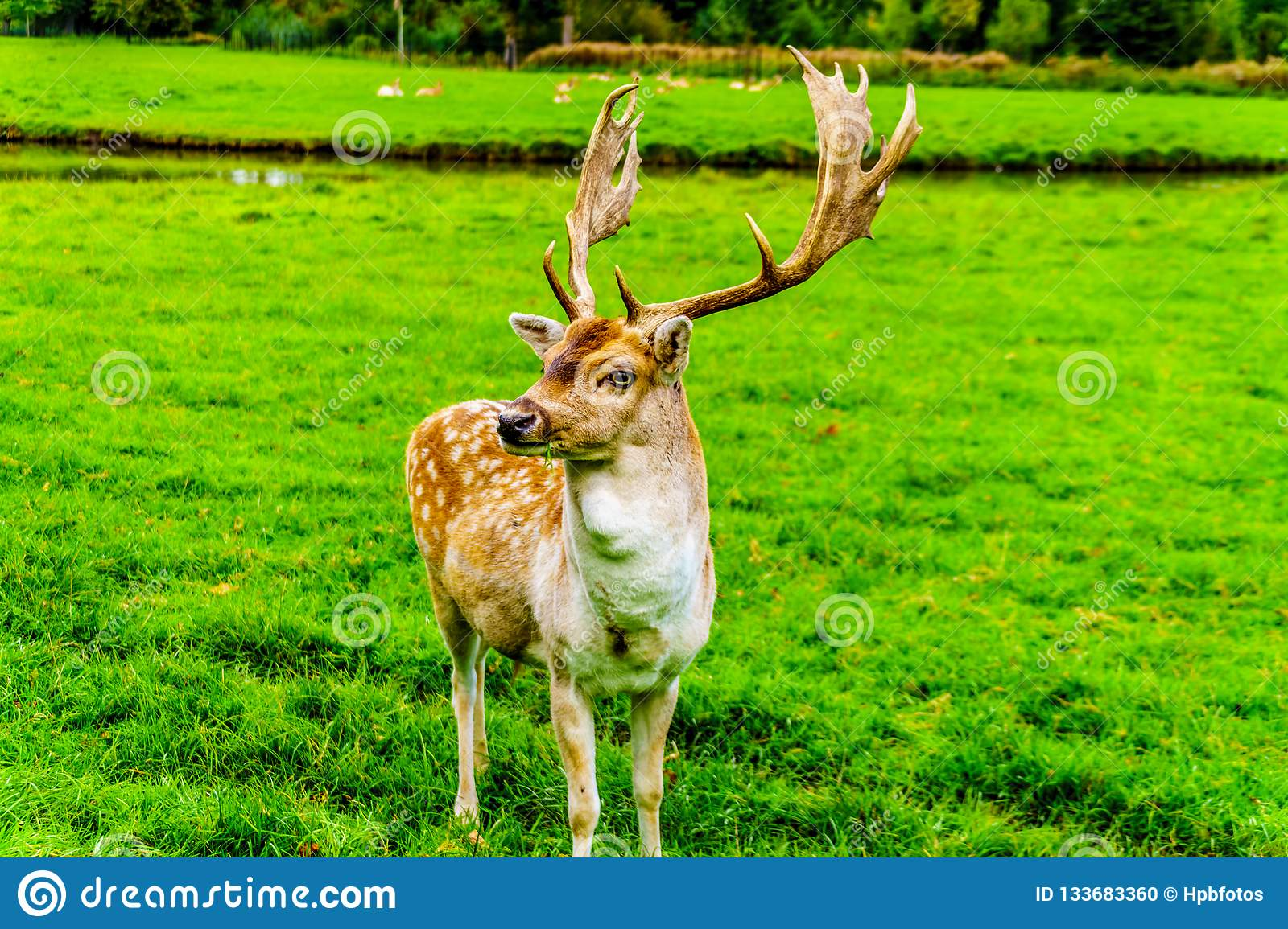 Fallow Deer with Antlers in a meadow