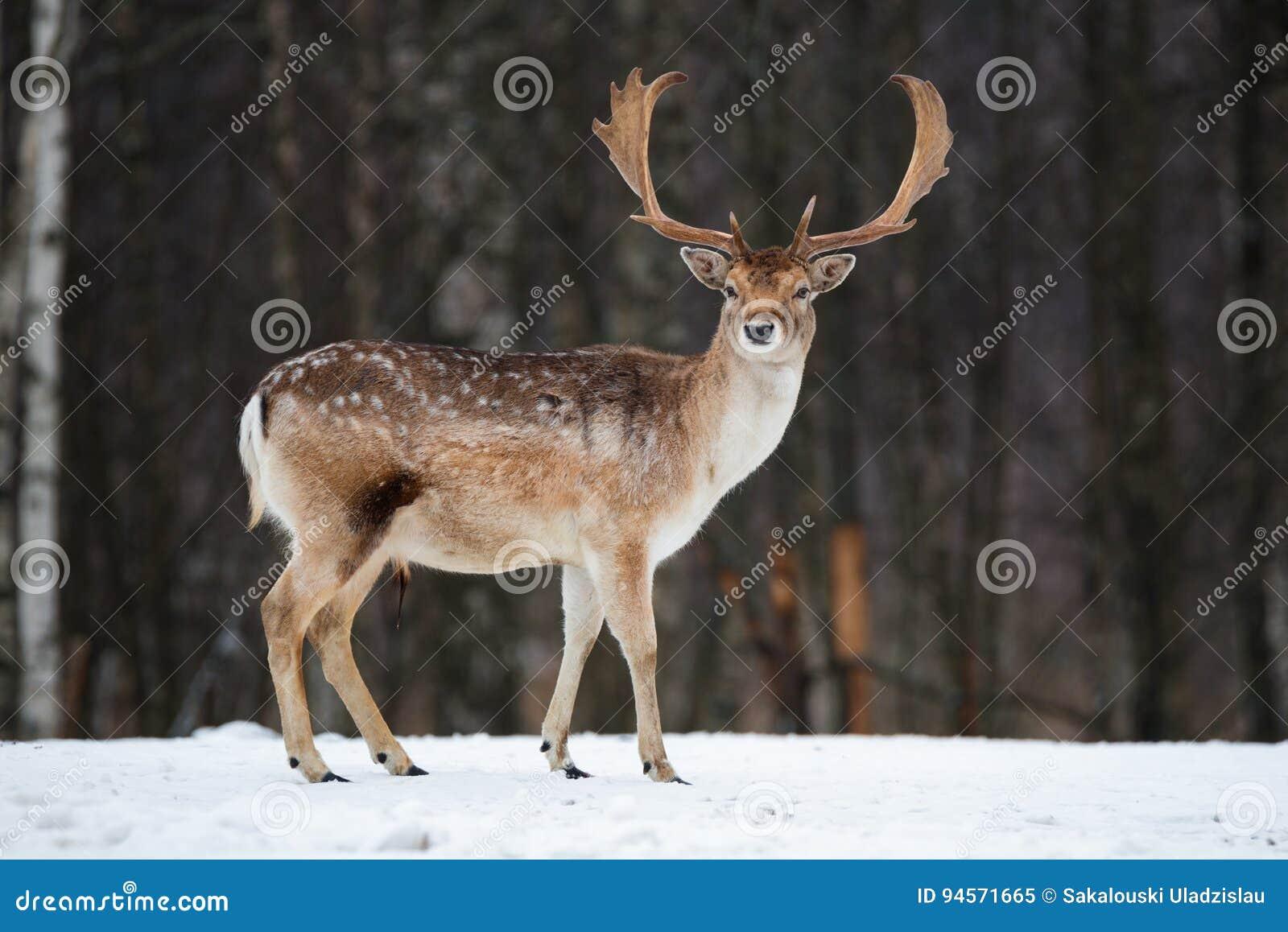 Fallow Deer Buck. Majestic powerful adult Fallow Deer, Dama dama, in winter forest, Belarus. Wildlife scene from nature, Europe.A