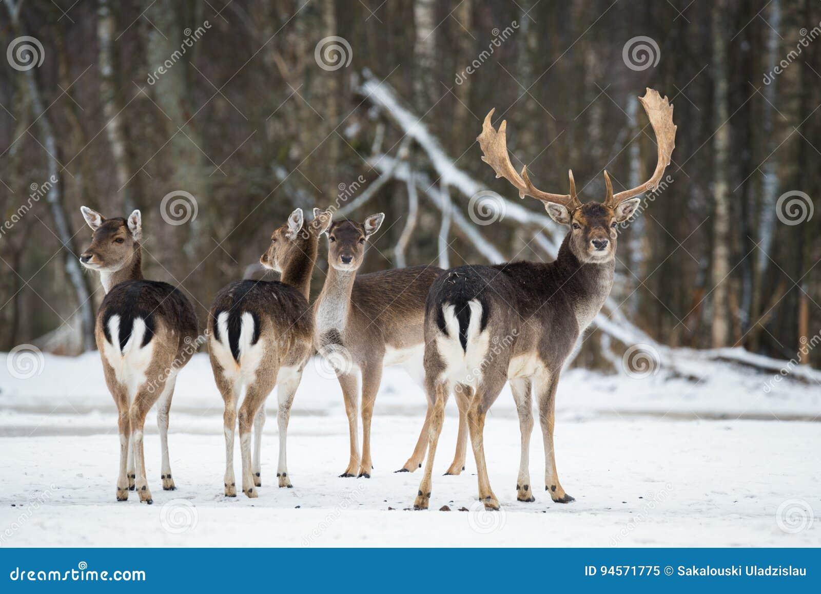 Fallow Deer, Dama dama, majestic adult animal in winter forest, Belarus. Small herd of fallow deers Dama dama .A group of Fallo