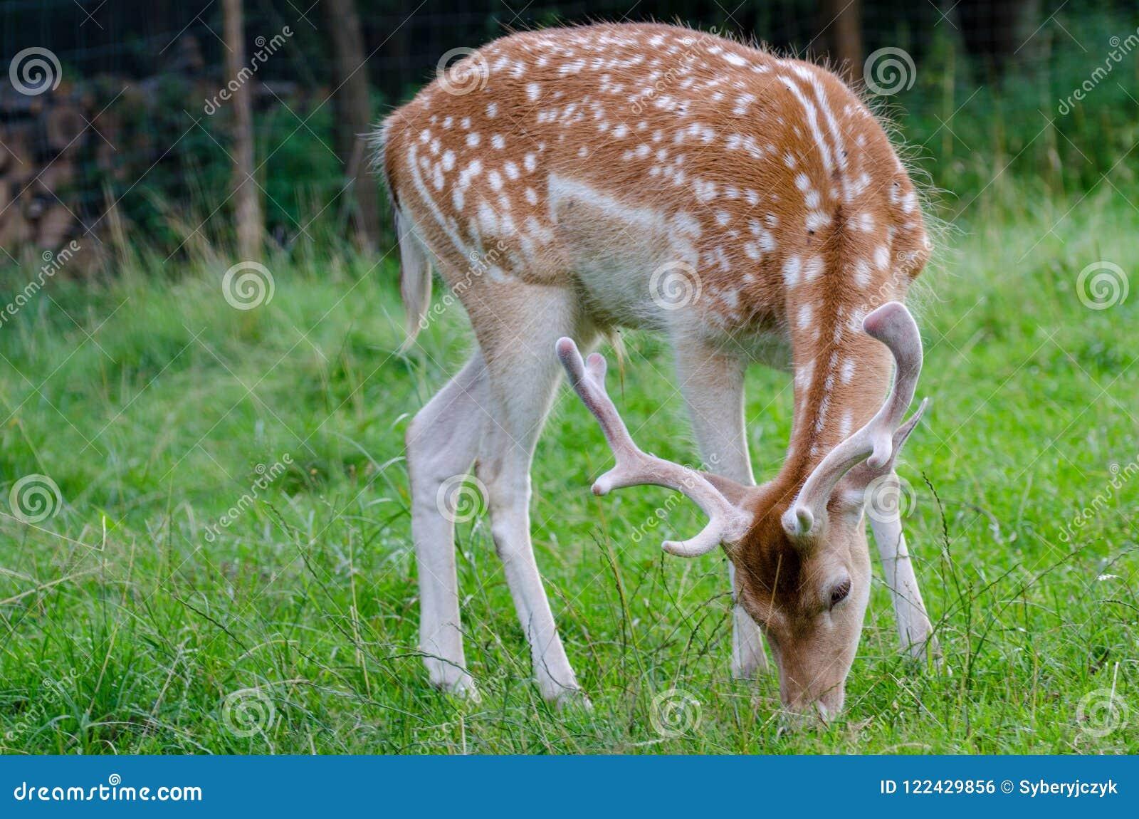 The fallow deer Dama dama