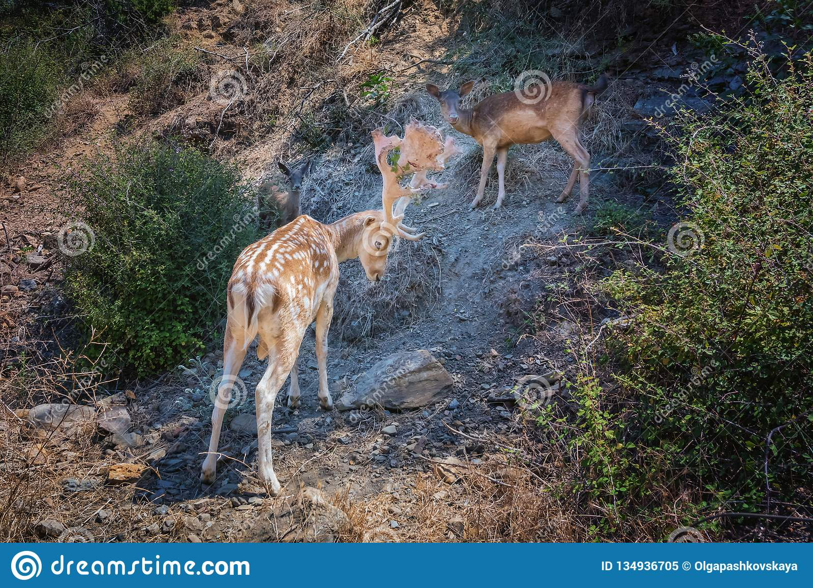 Fallow Deer Family On Rocky Mountain Slope Stock Image Image Of Cervus Antler 134936705