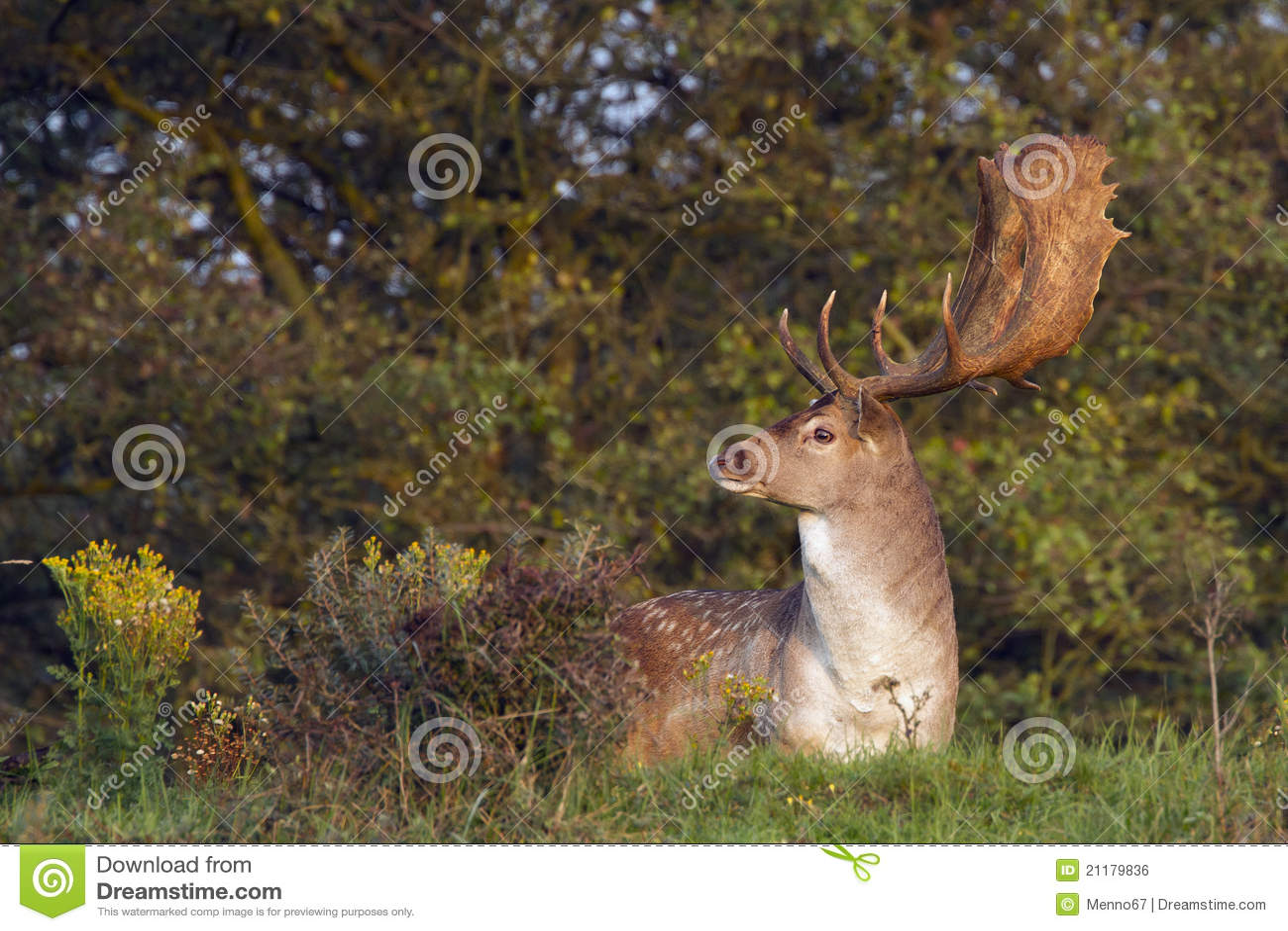 Fallow Deer Male