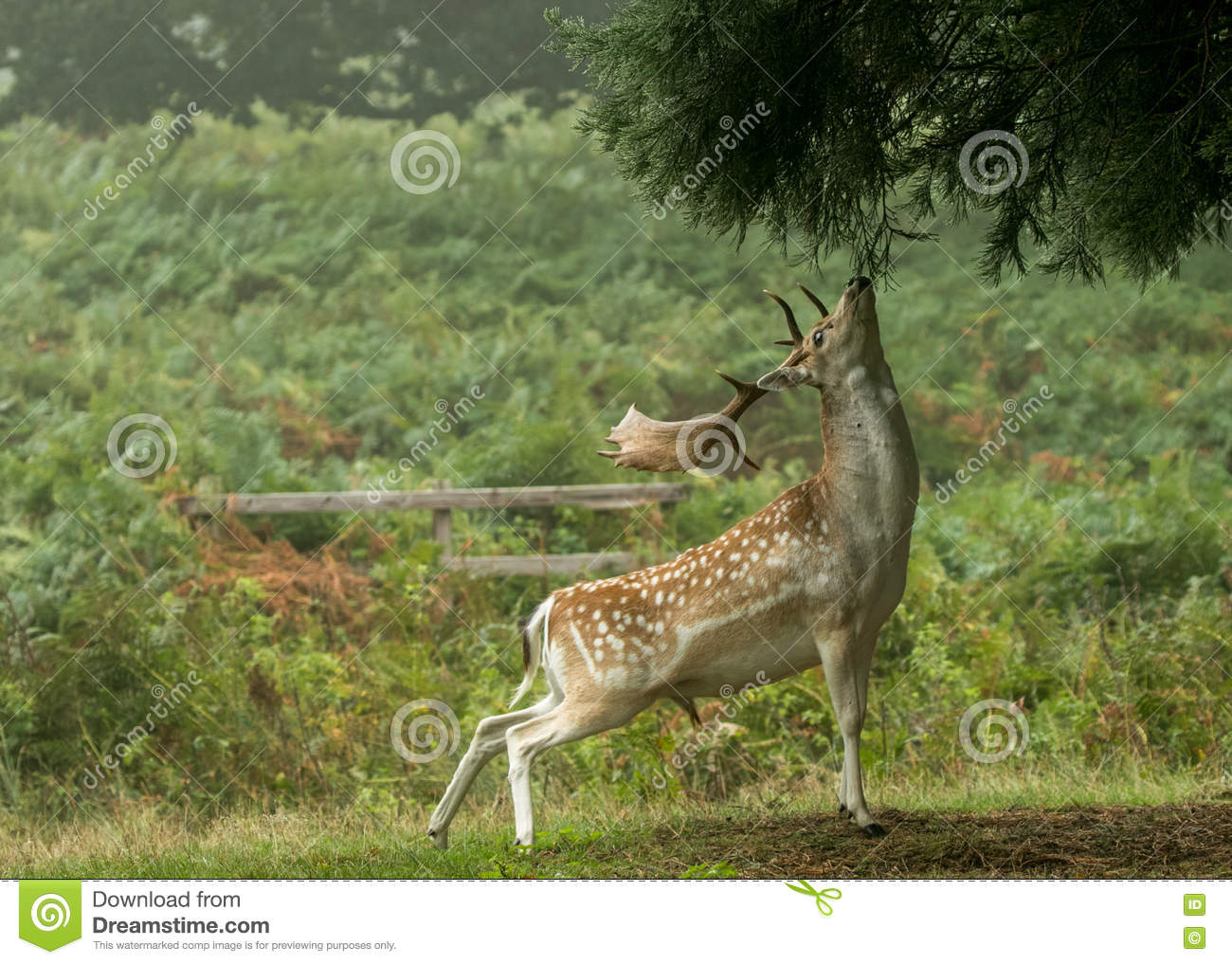 Fallow deer reaching up to eat tree