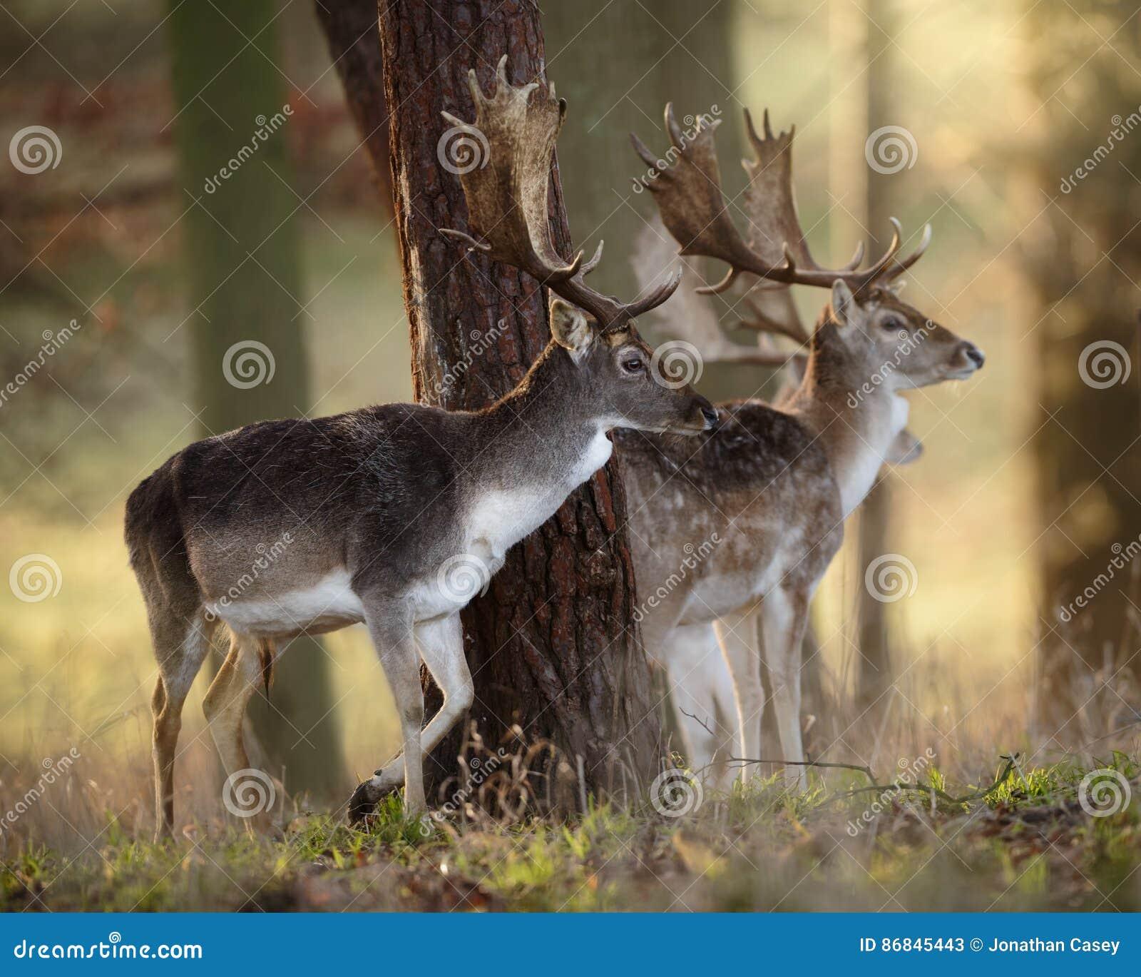 Fallow Deer Stags in Wood