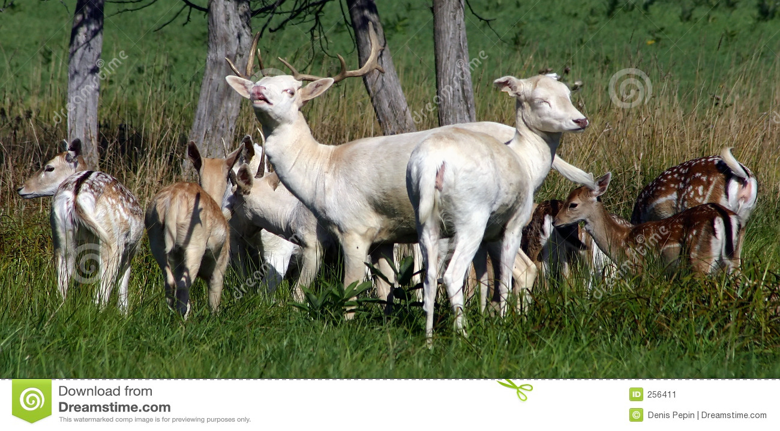 Fallow jeleni rodziny otwarte pole