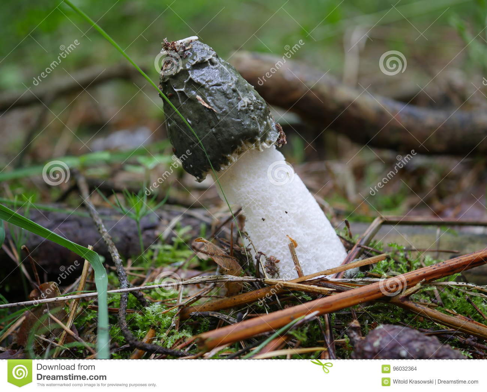 Fallusa impudicus pieczarka