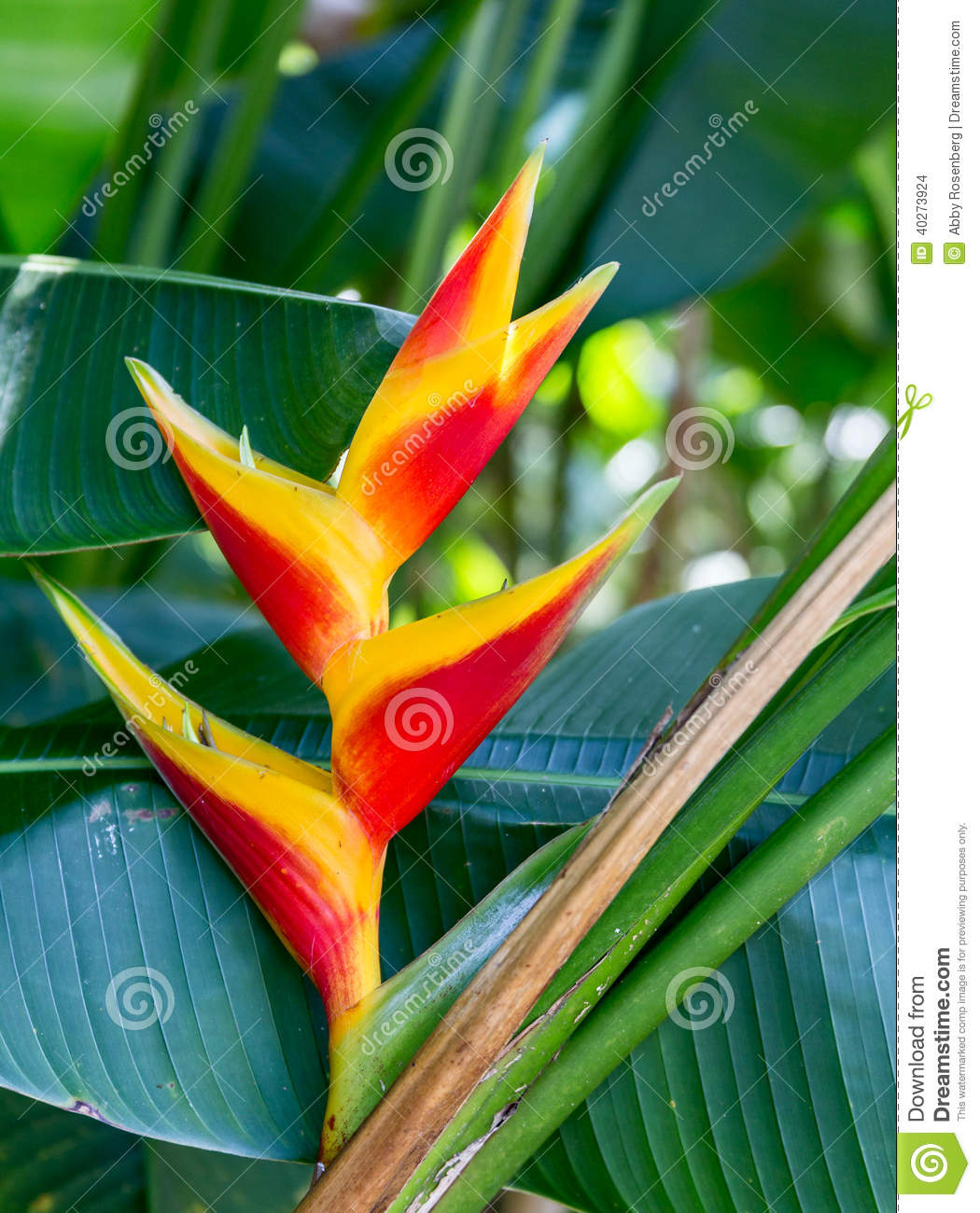 False bird of paradise heliconia stock photo image 40273924 - Flowers native to greece a sea of color ...