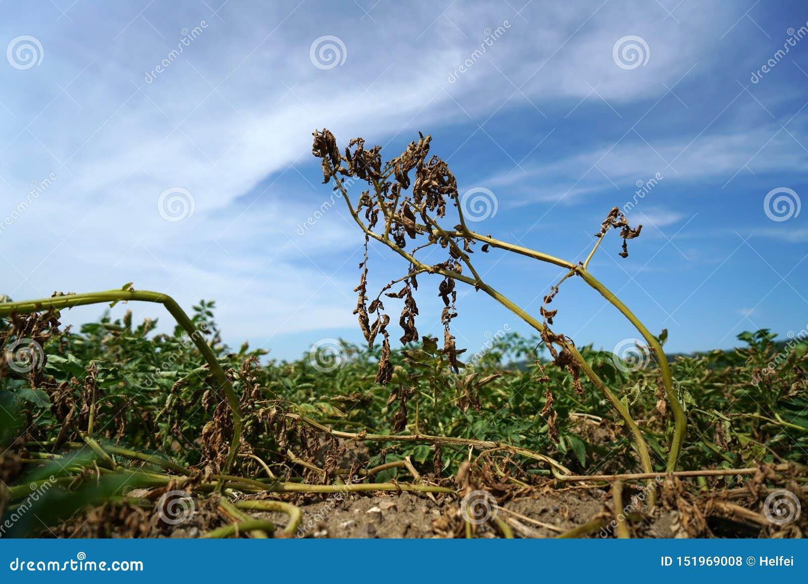Falta da ligação da precipitação e das alterações climáticas a seco e seca em altas temperaturas