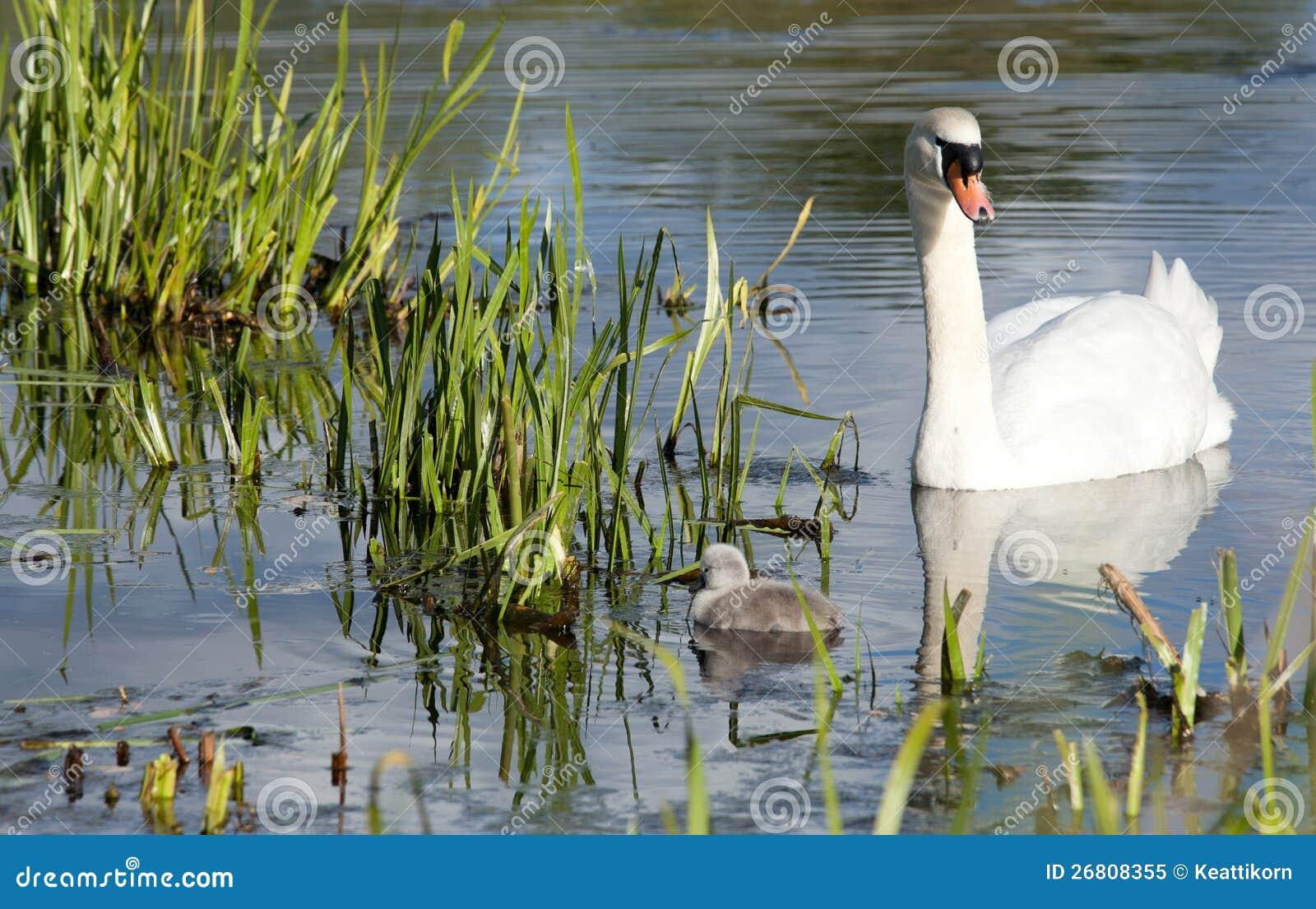 Família da cisne