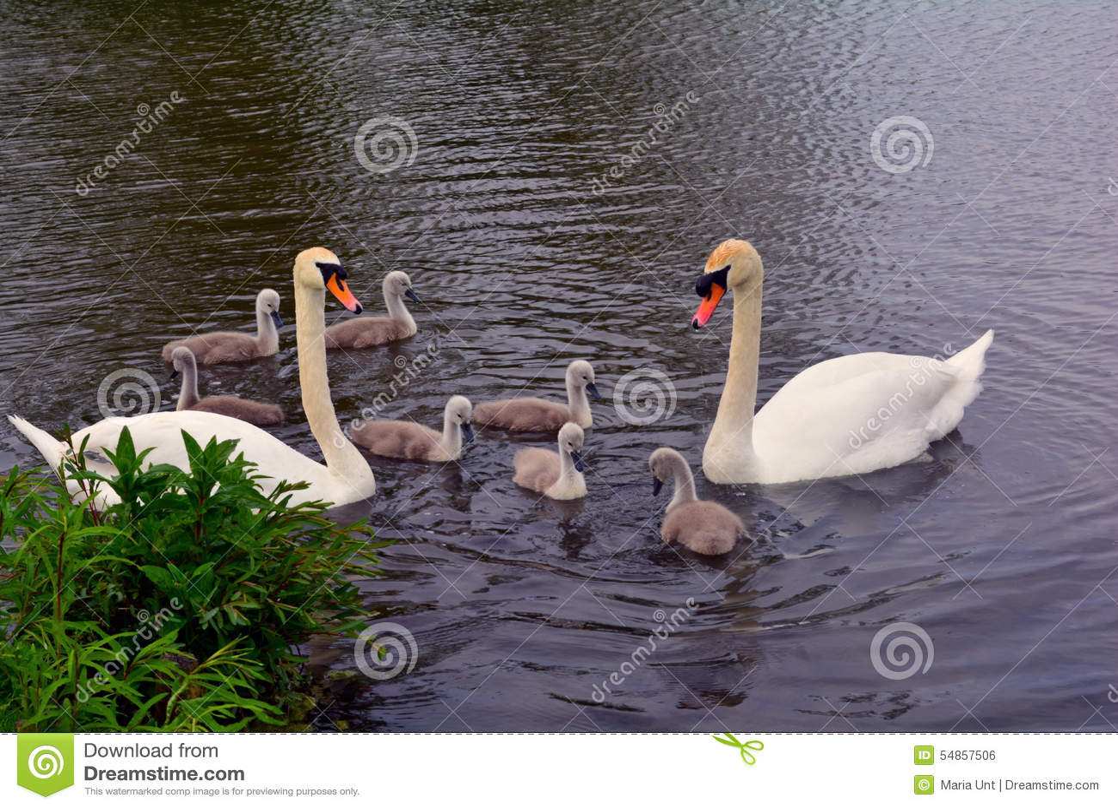 Família da cisne no lago, Norfolk, Reino Unido