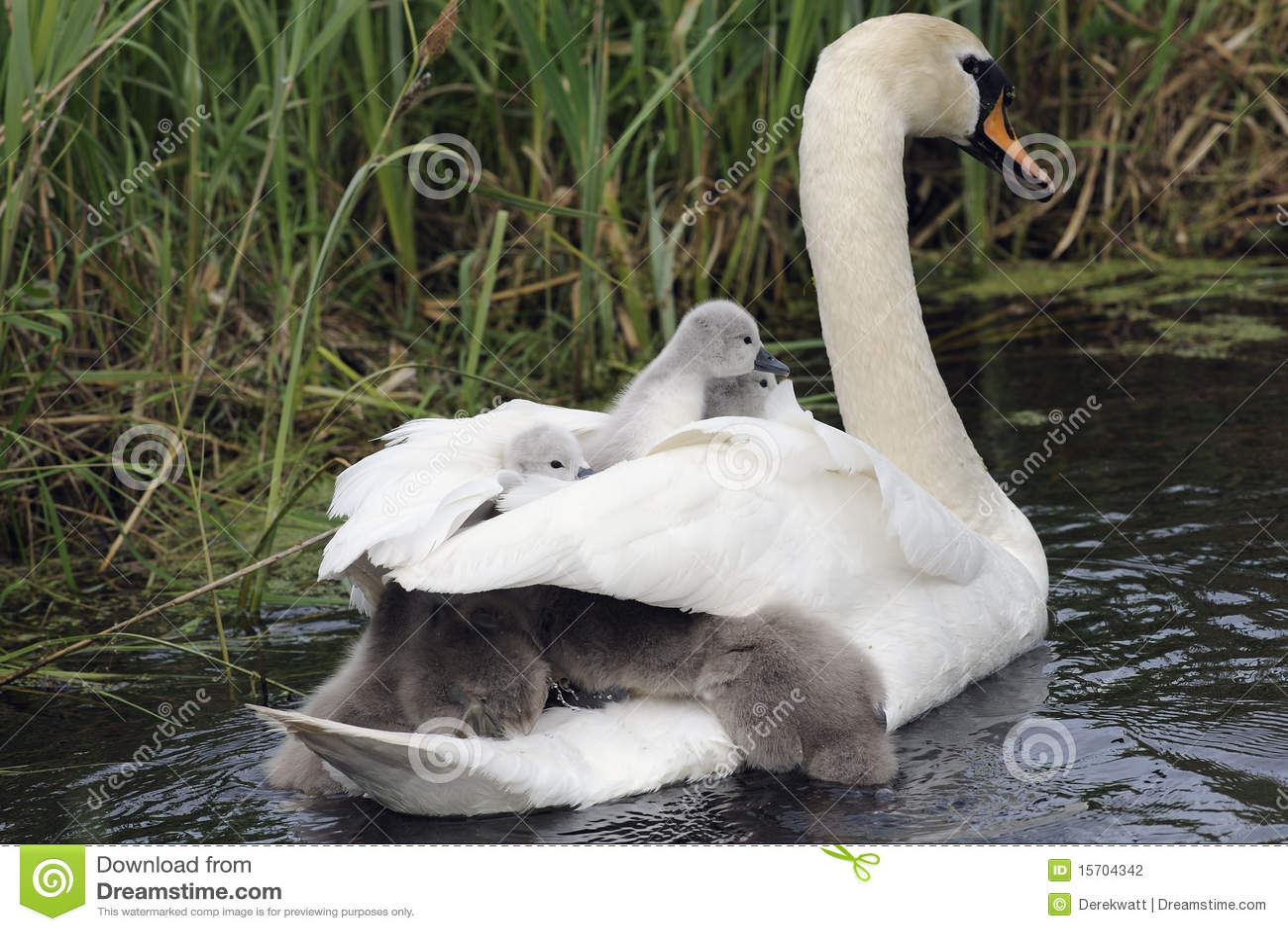 Família da cisne no rio