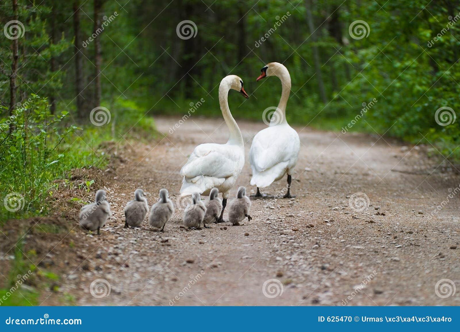 Família das cisnes