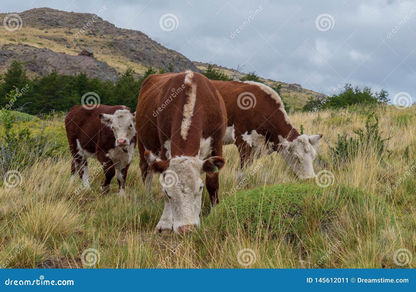 Família das vacas que pastam na tarde