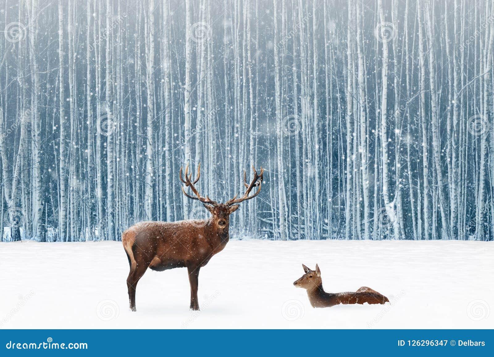 Família de cervos nobres em uma imagem nevado da fantasia do Natal da floresta do inverno na cor azul e branca nevar