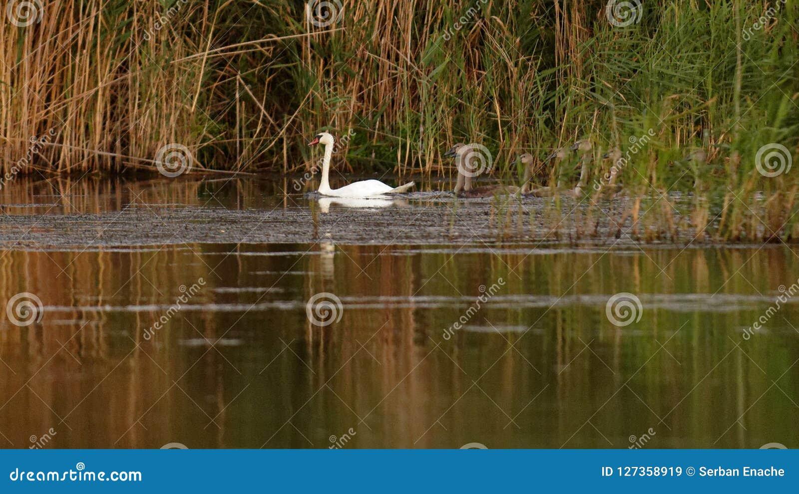 Família de cisnes mudas no delta de Danúbio