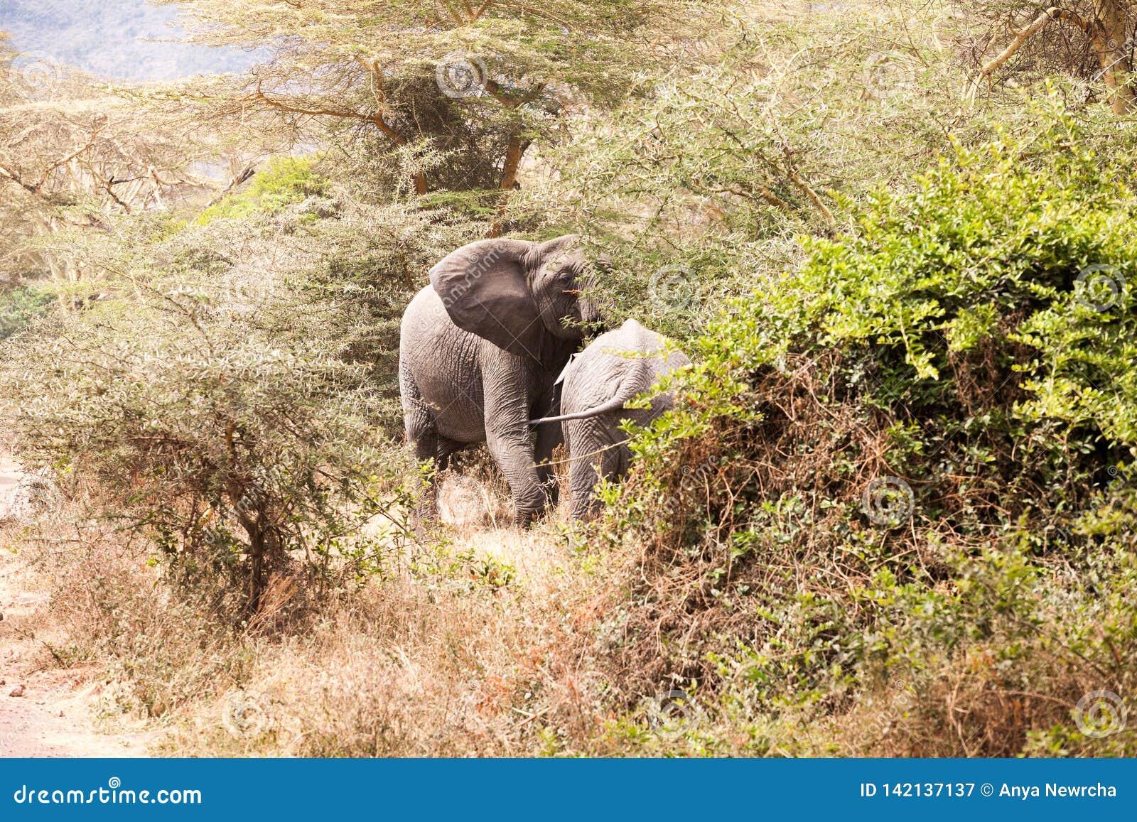 Família de elefantes africanos