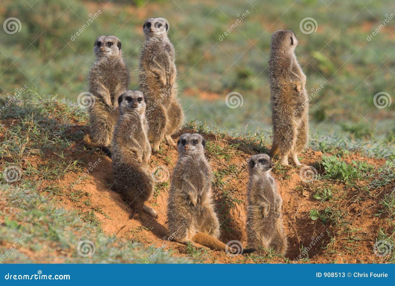 Família de Meerkat