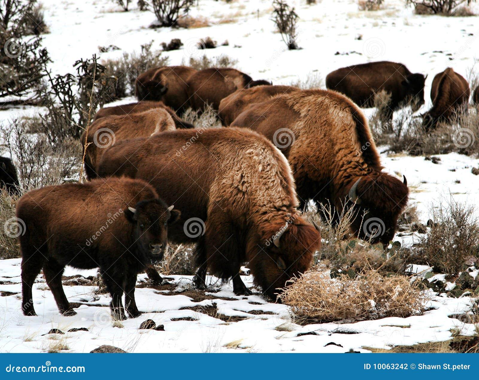 Família do búfalo
