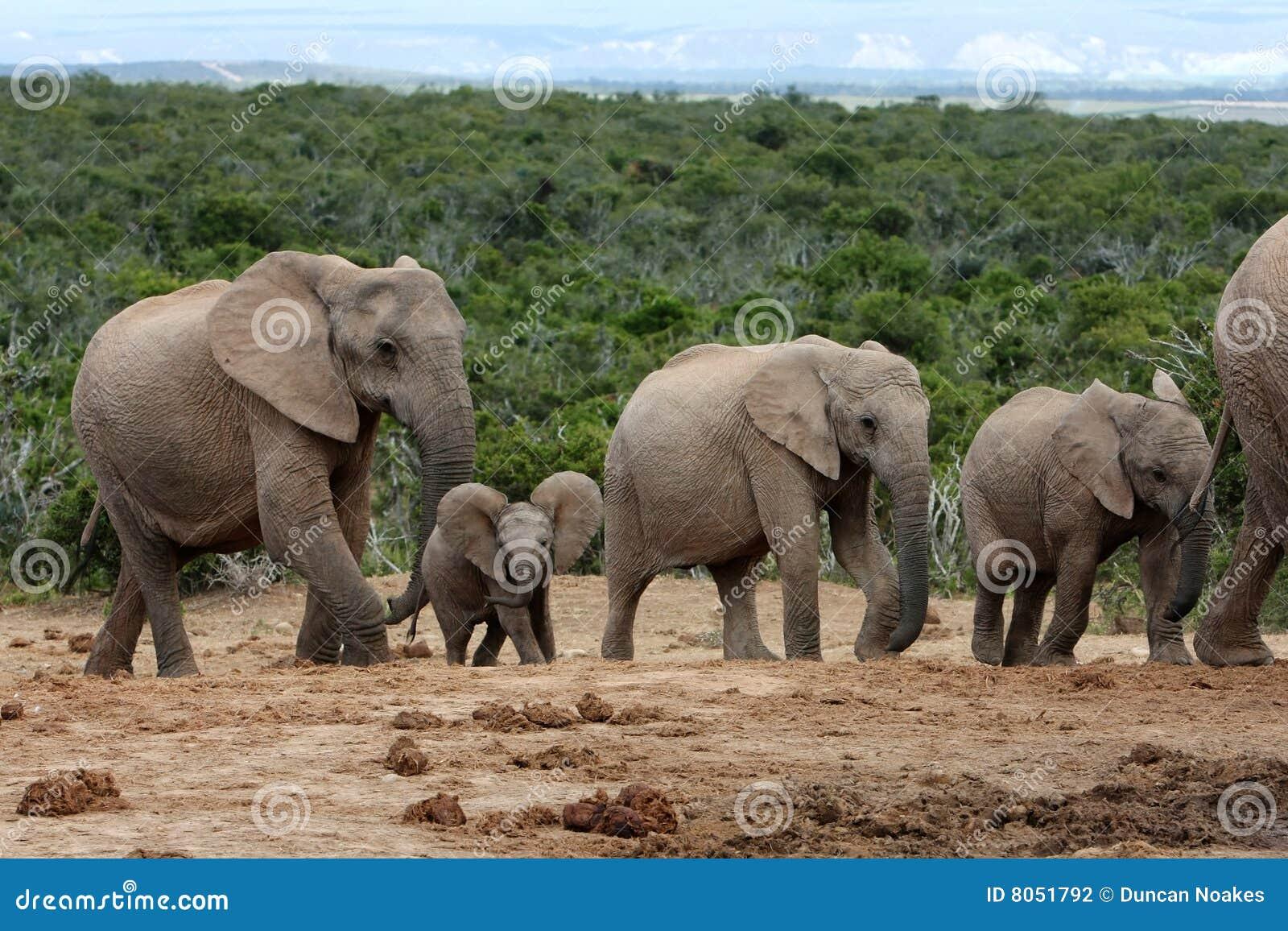 Família do elefante africano