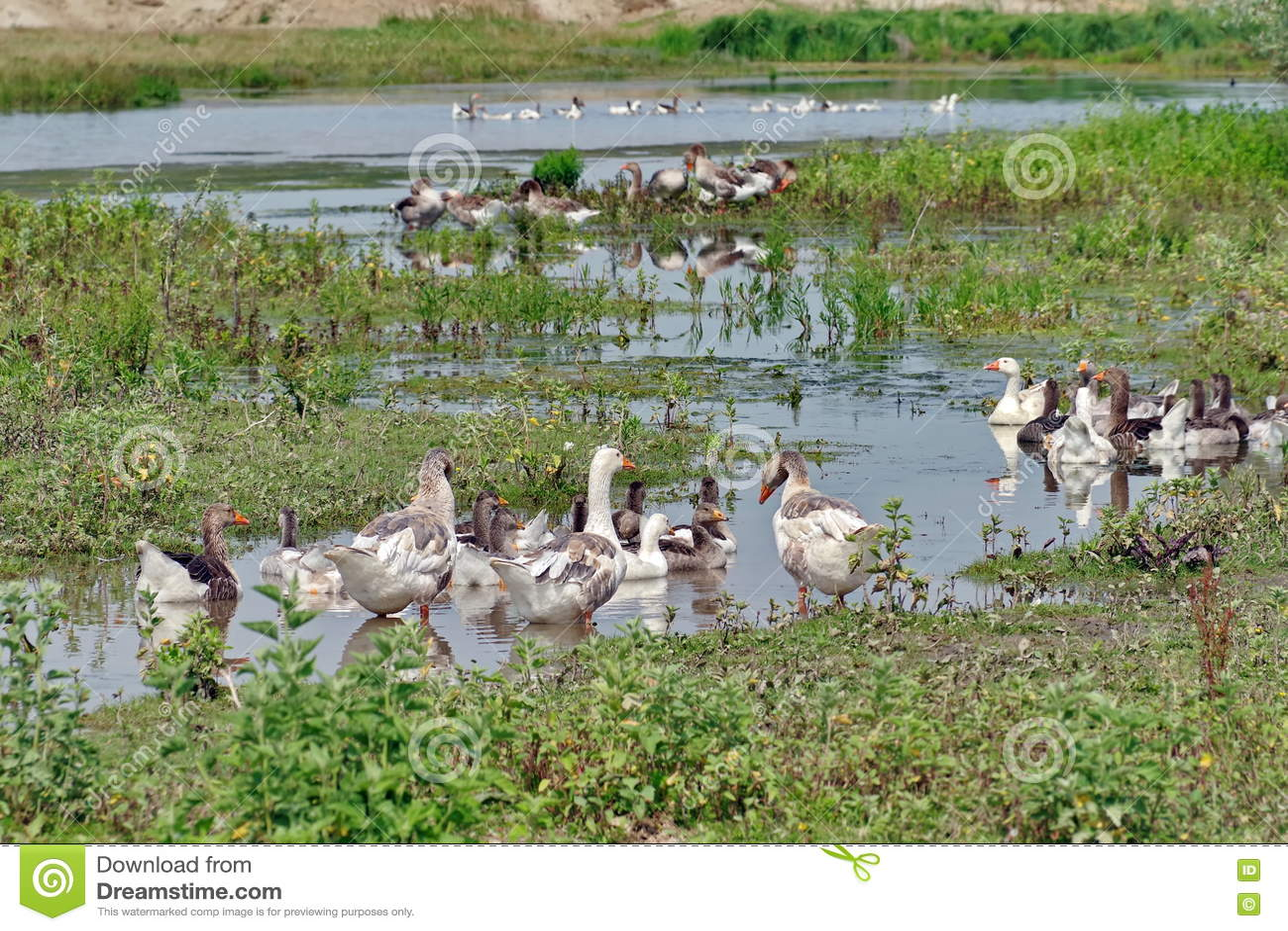 Família dos gansos