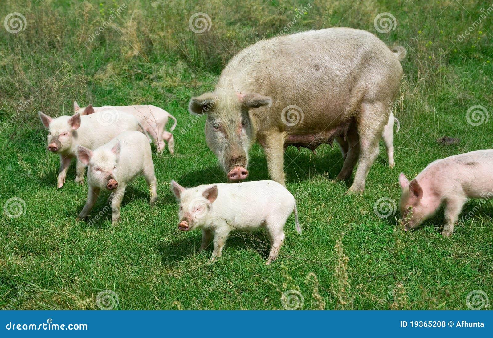 Família dos porcos
