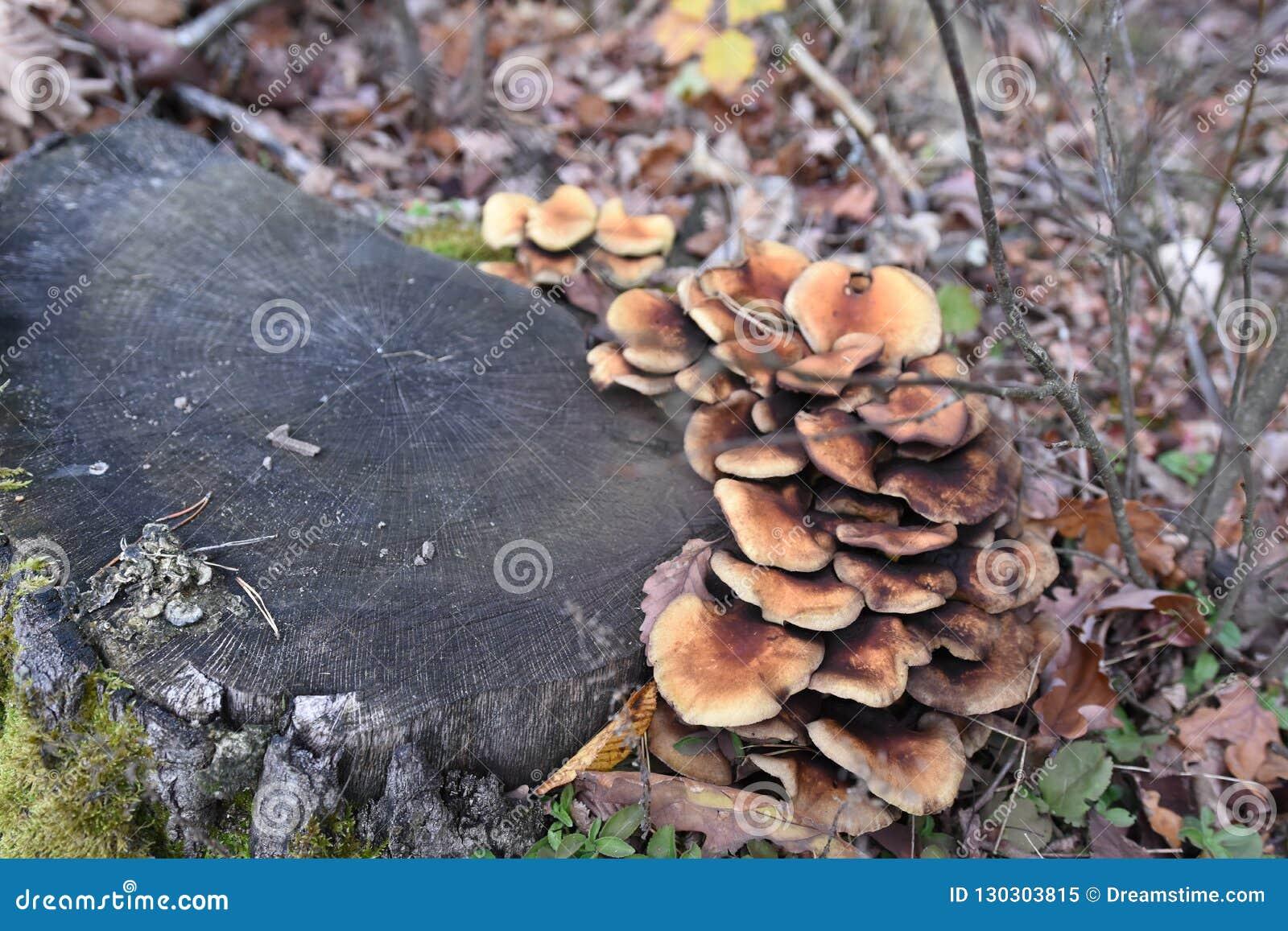Famiglia dei funghi vicina su sull autunno leavesWhiteAgaric