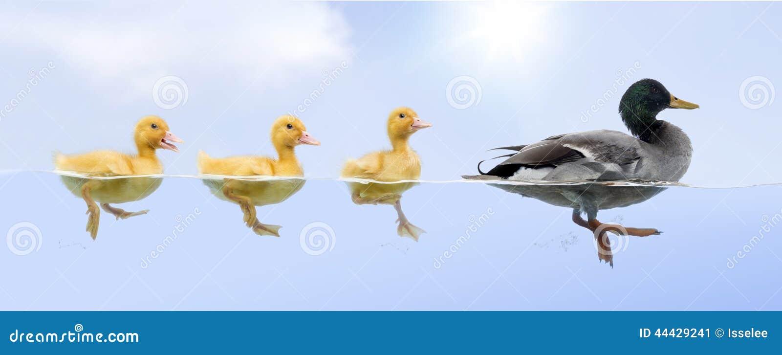 Famiglia dell anatra che galleggia in un crudo