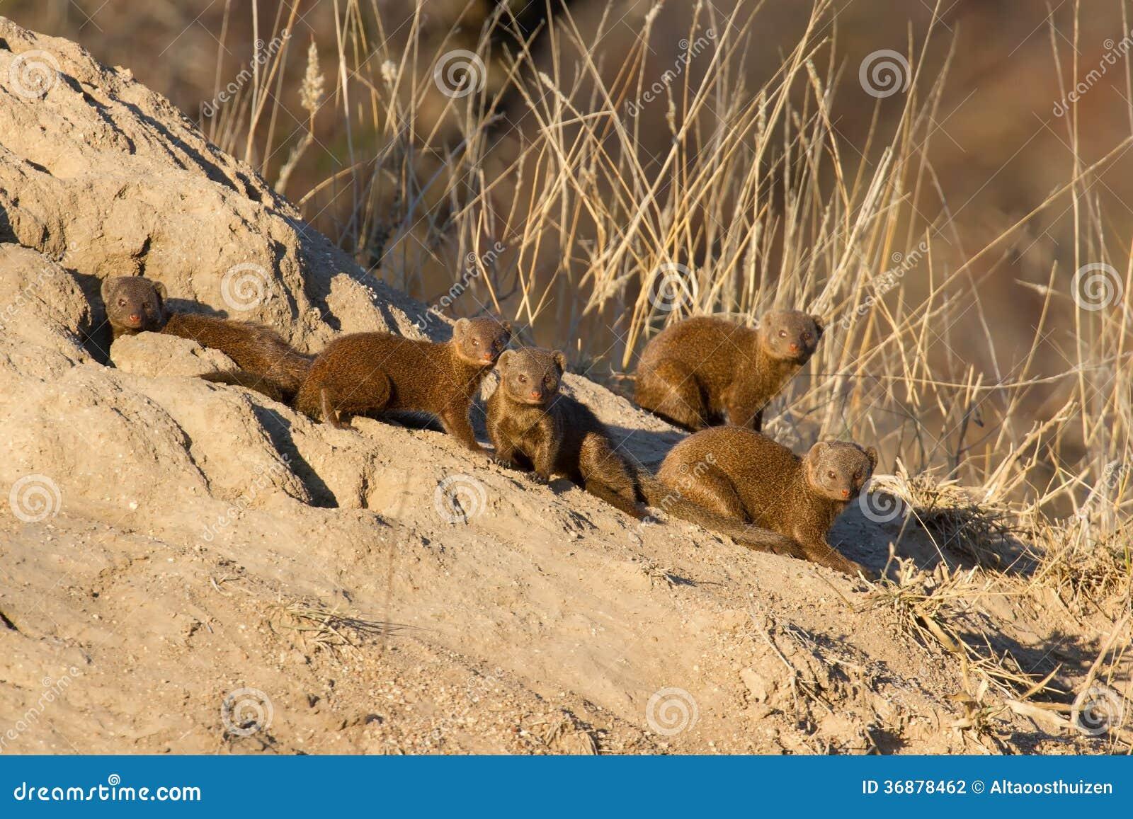 Download Famiglia Dell'erpeste Nano Che Si Siede Sul Nido Della Termite Fotografia Stock - Immagine di onnivoro, safari: 36878462