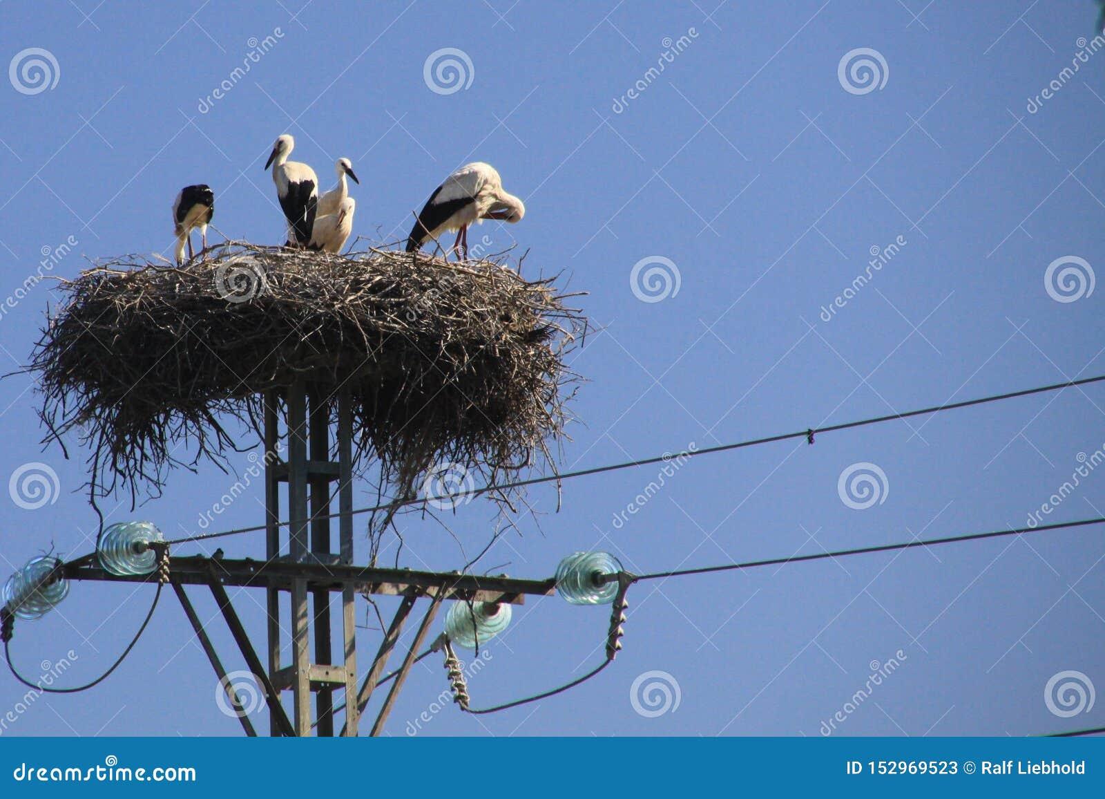 Famiglia della cicogna che vive nel nido sul palo elettrico contro il cielo blu in Andalusia, Spagna