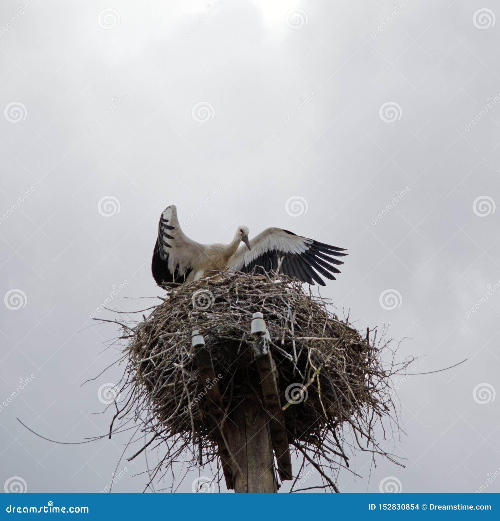 Famiglia delle cicogne nel nido