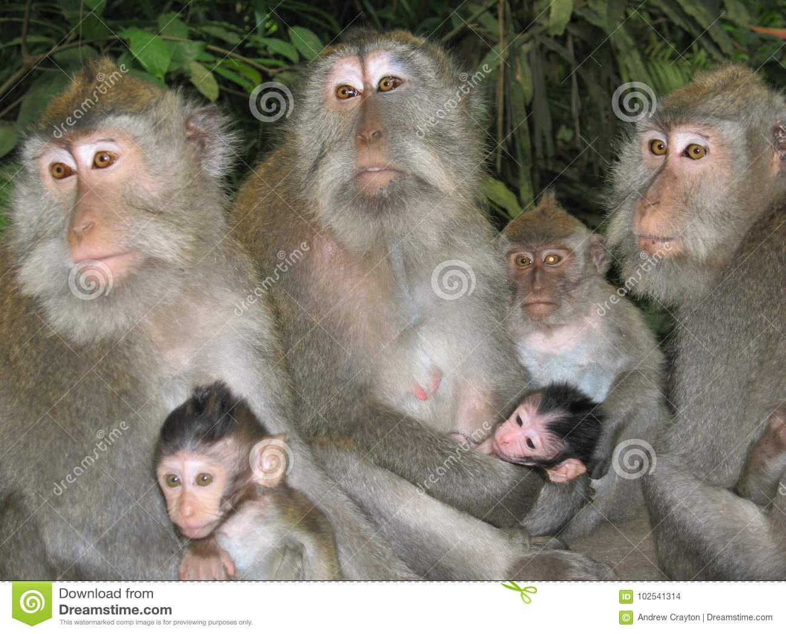 Famiglia delle scimmie fotografia stock  Immagine di scimmie