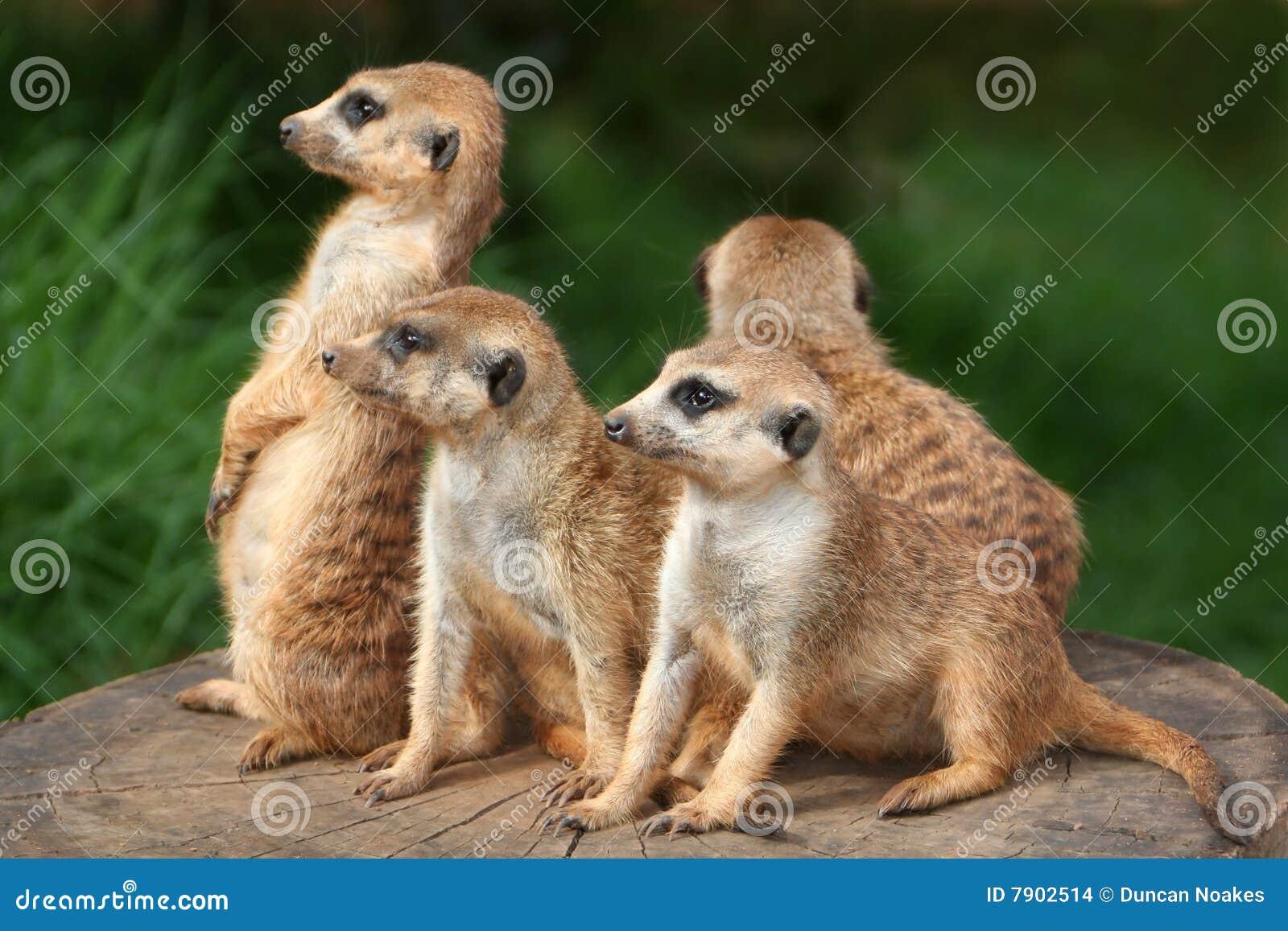 Famiglia di Meerkat