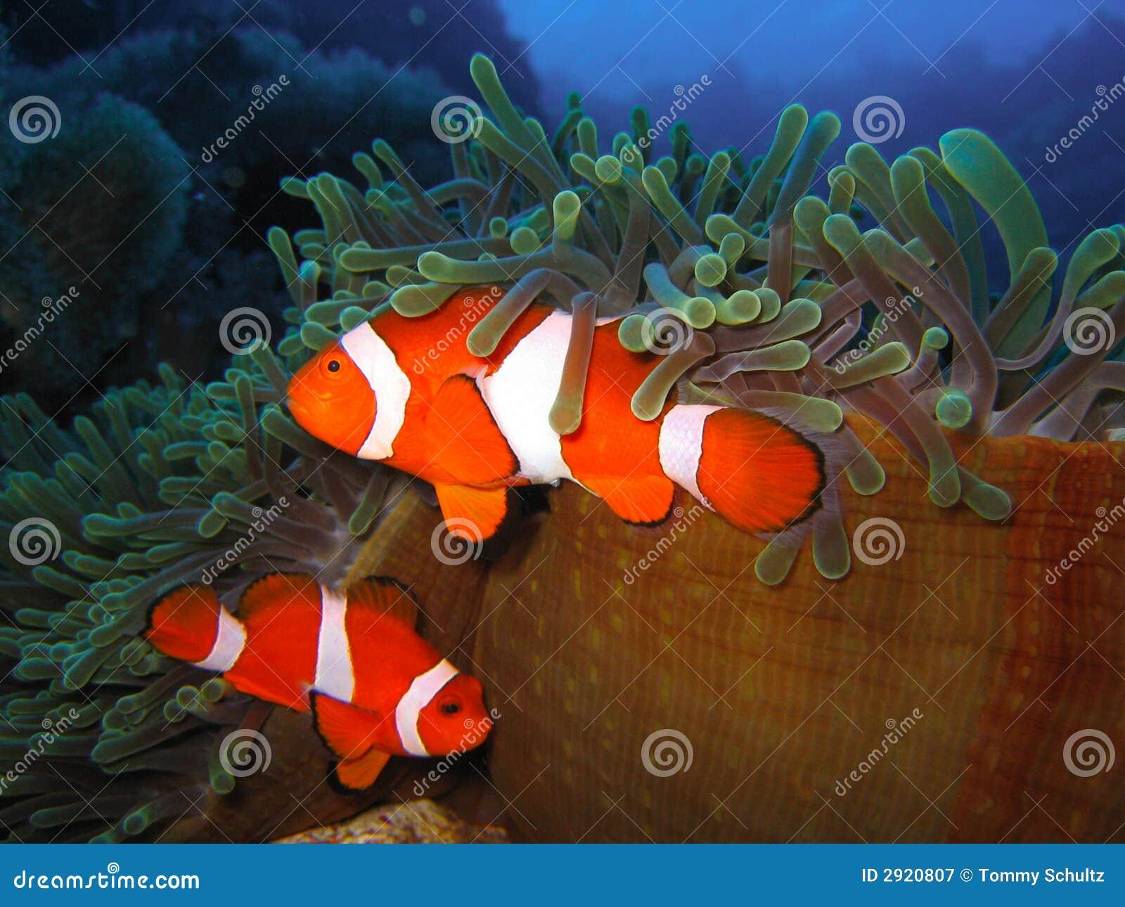 Famiglia di pesci tropicale del pagliaccio fotografia for Immagini di pesci da stampare