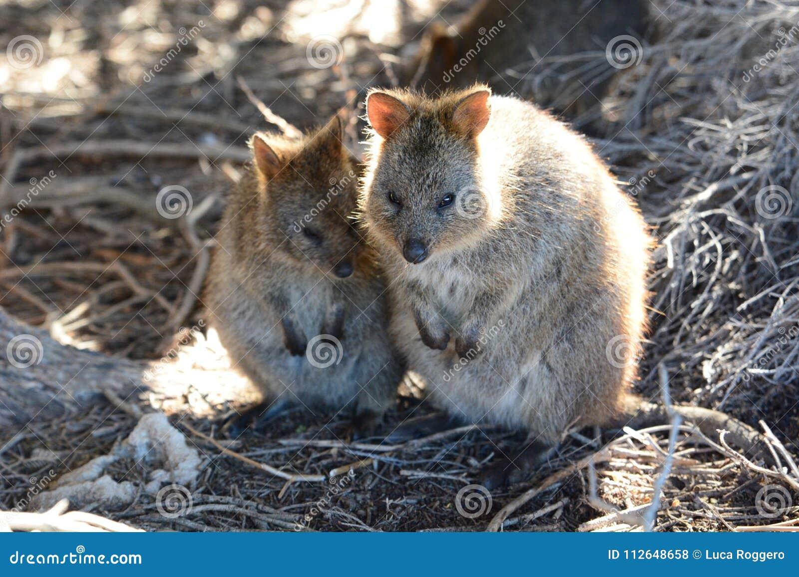 Risultati immagini per isola rottnest australia FAUNA