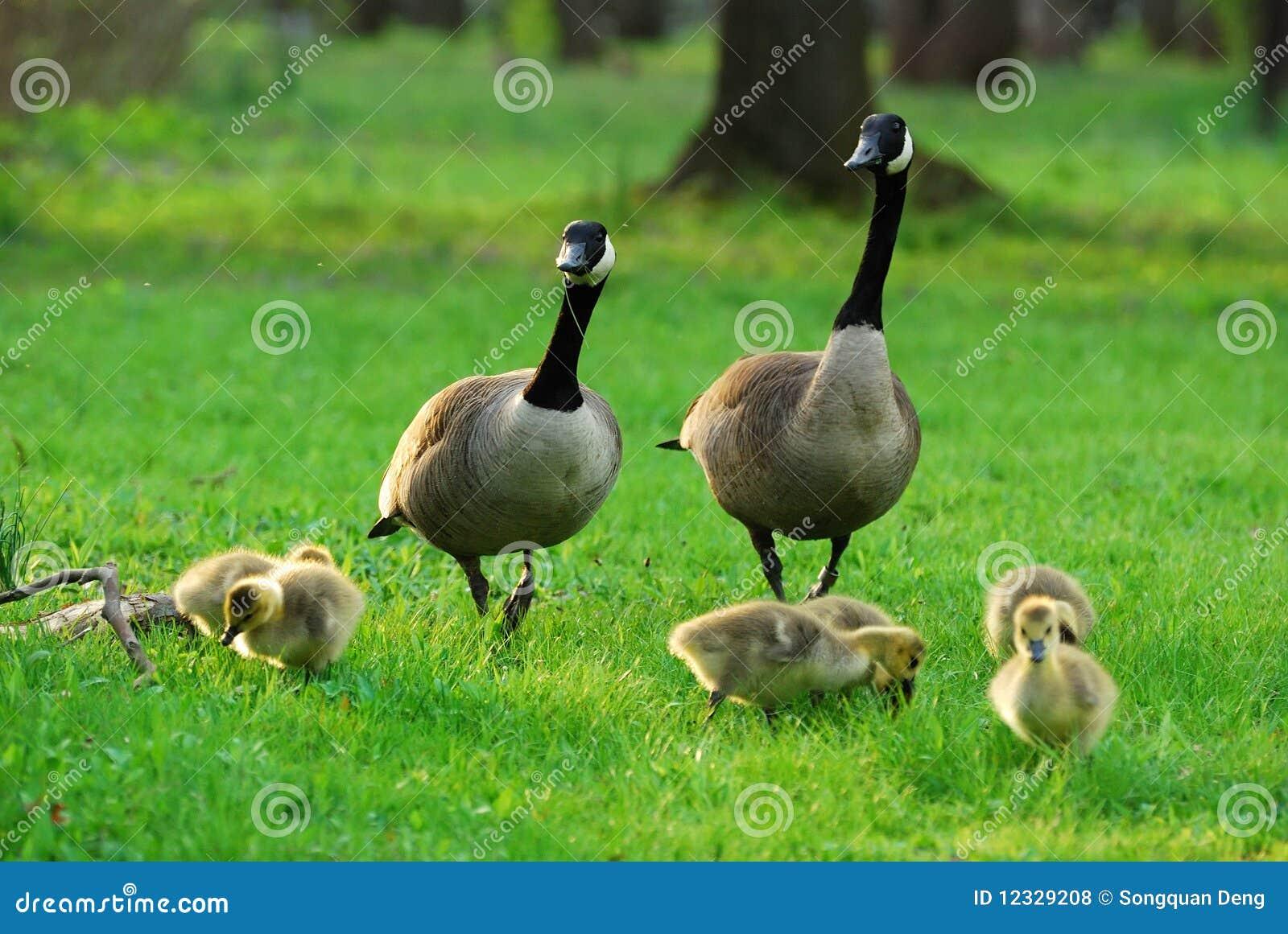 Familia canadiense feliz del ganso